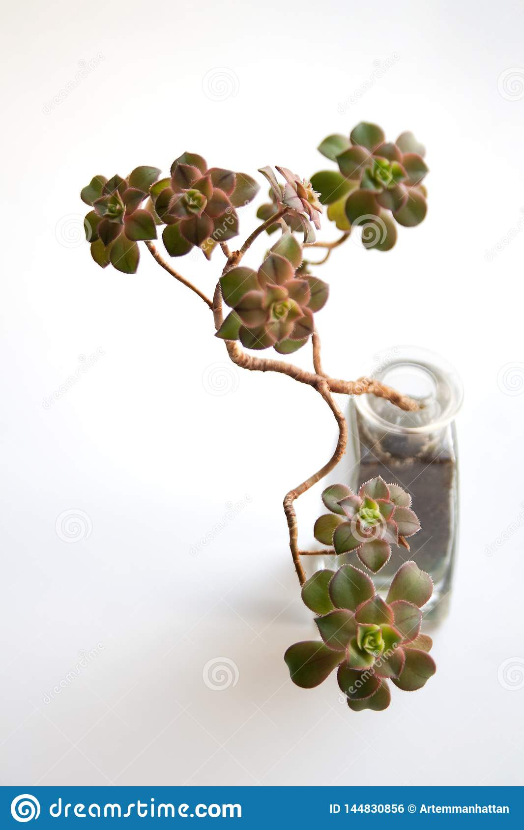 Planta carnuda do quivi do Aeonium na garrafa de vidro