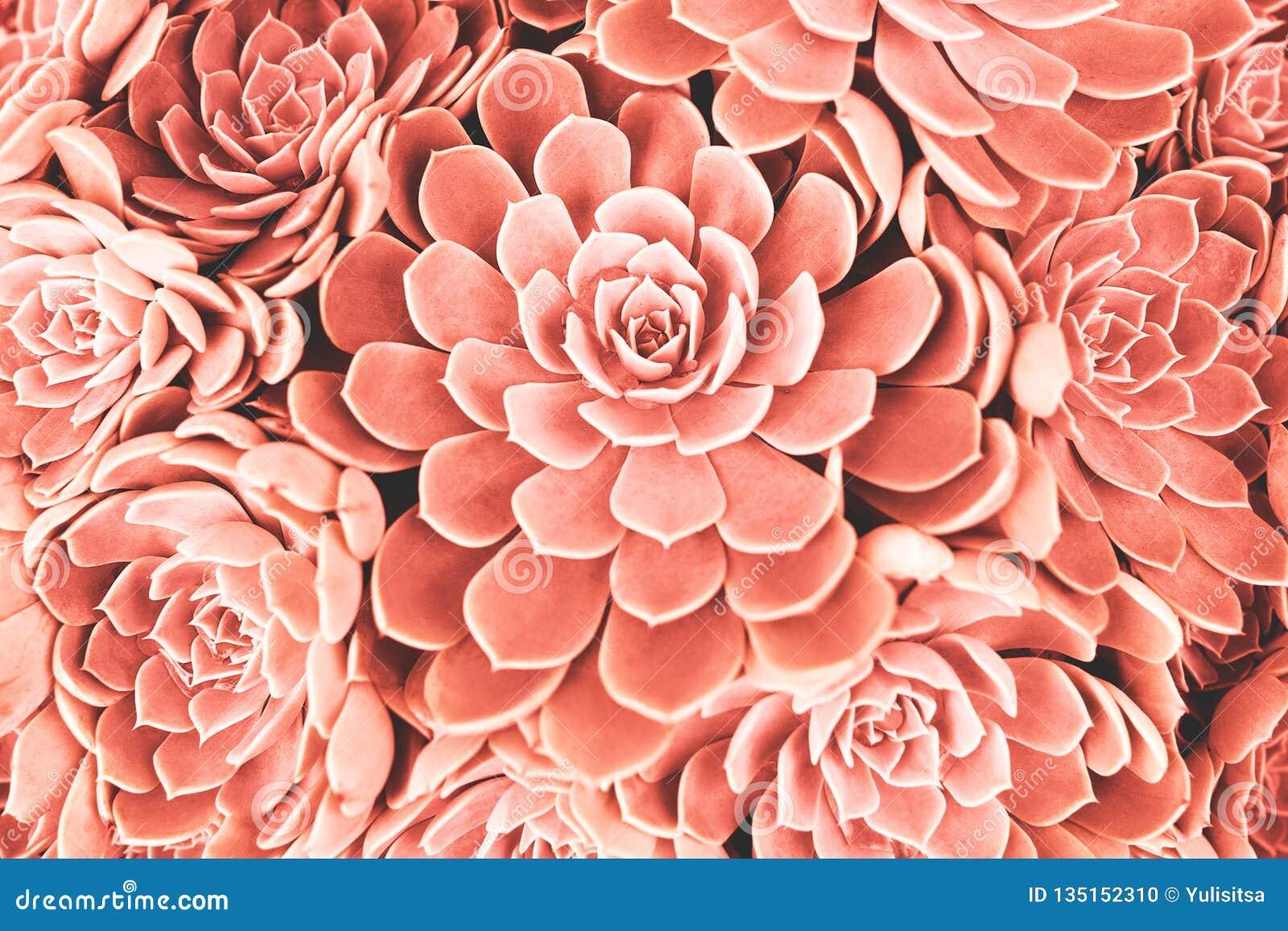 Planta carnuda tonificada coral