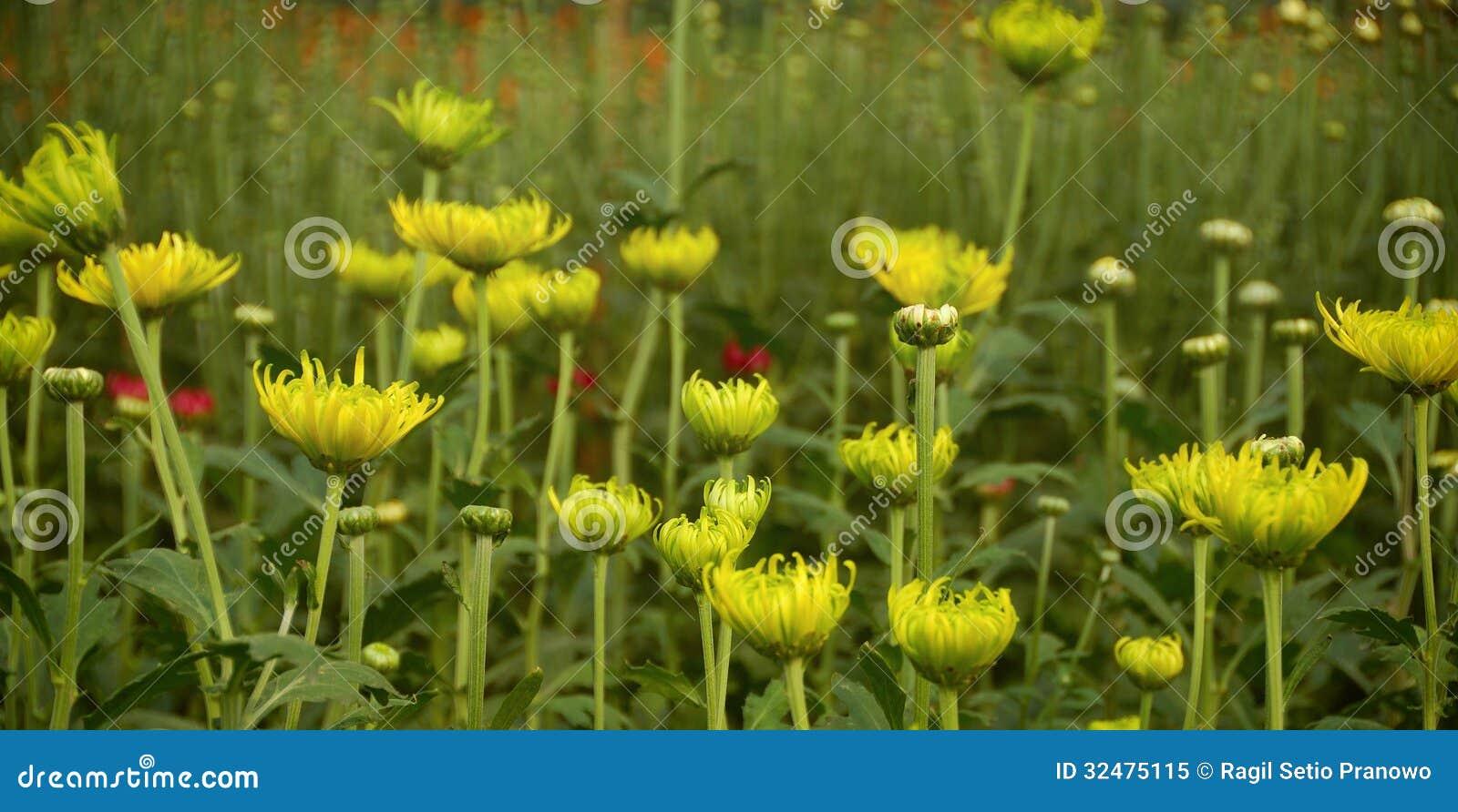 Planta colorida do crisântemo da flor dentro do greenh