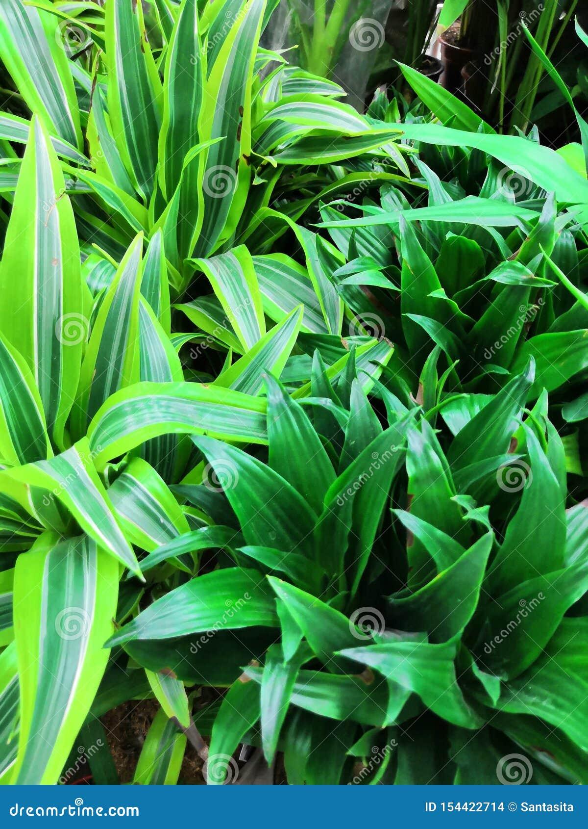 Planta común de la casa en Asia sudoriental, crecida fácilmente en la palma del Pandanus de la hoja de Pandan de los potes aka us