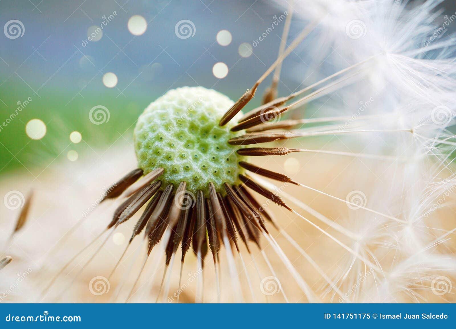 Planta da flor do dente-de-leão
