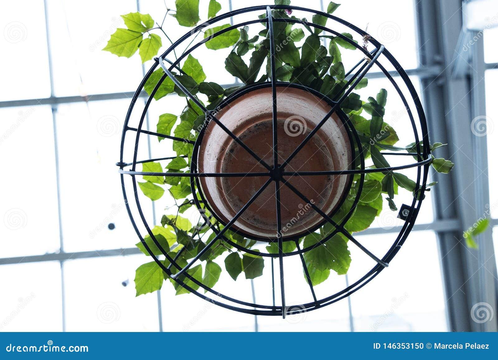 Planta da trepadeira no potenciômetro de argila e na estrutura circular do ferro que penduram do teto