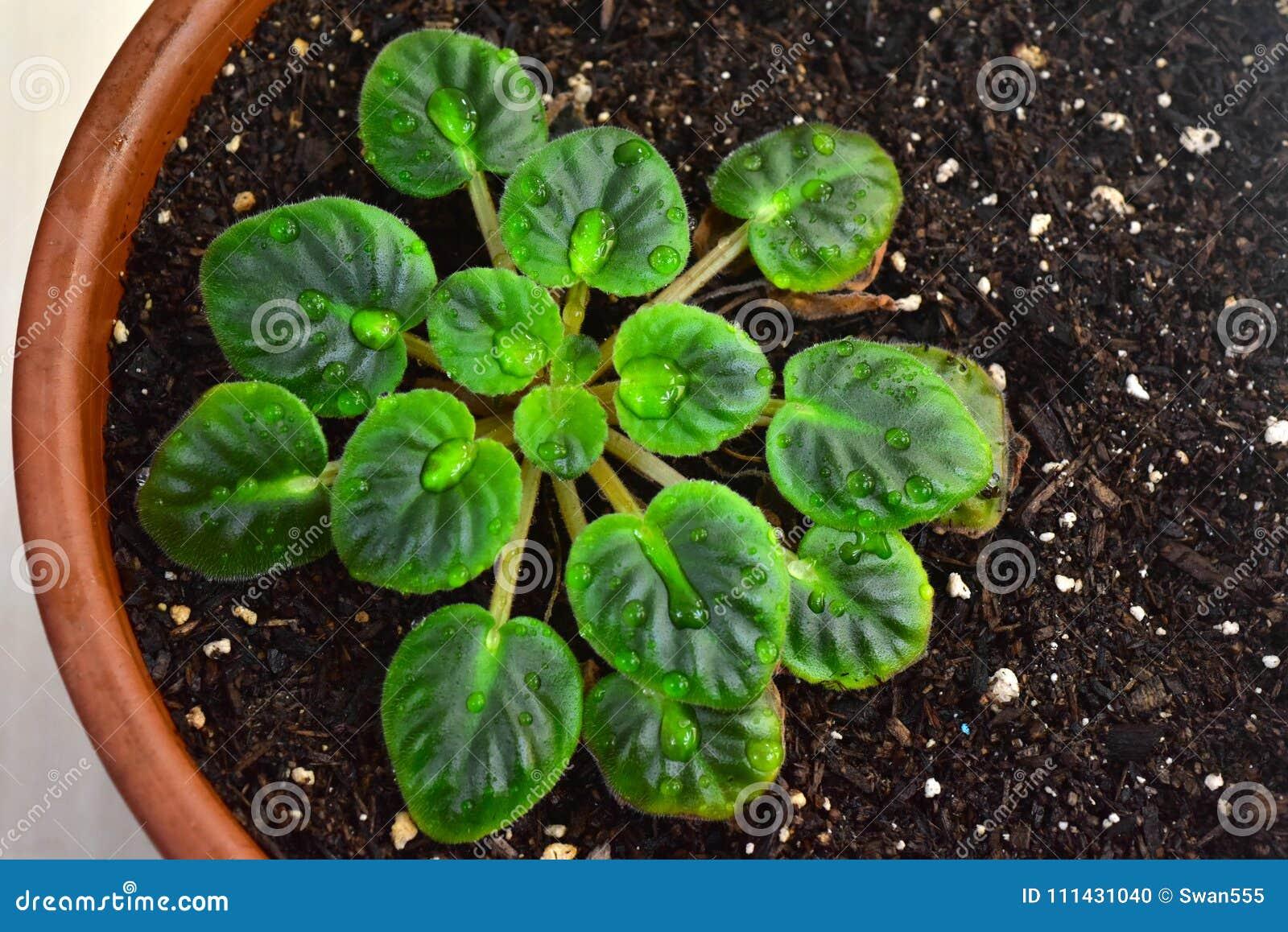 Planta da violeta africana no potenciômetro