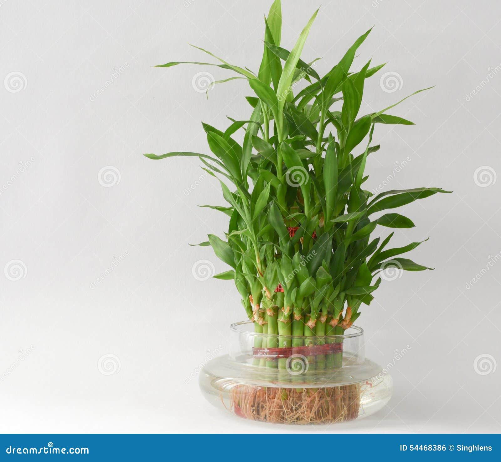 Planta de agua de bamb casera en un frasco de agua foto for Plantas para estanques de agua fria