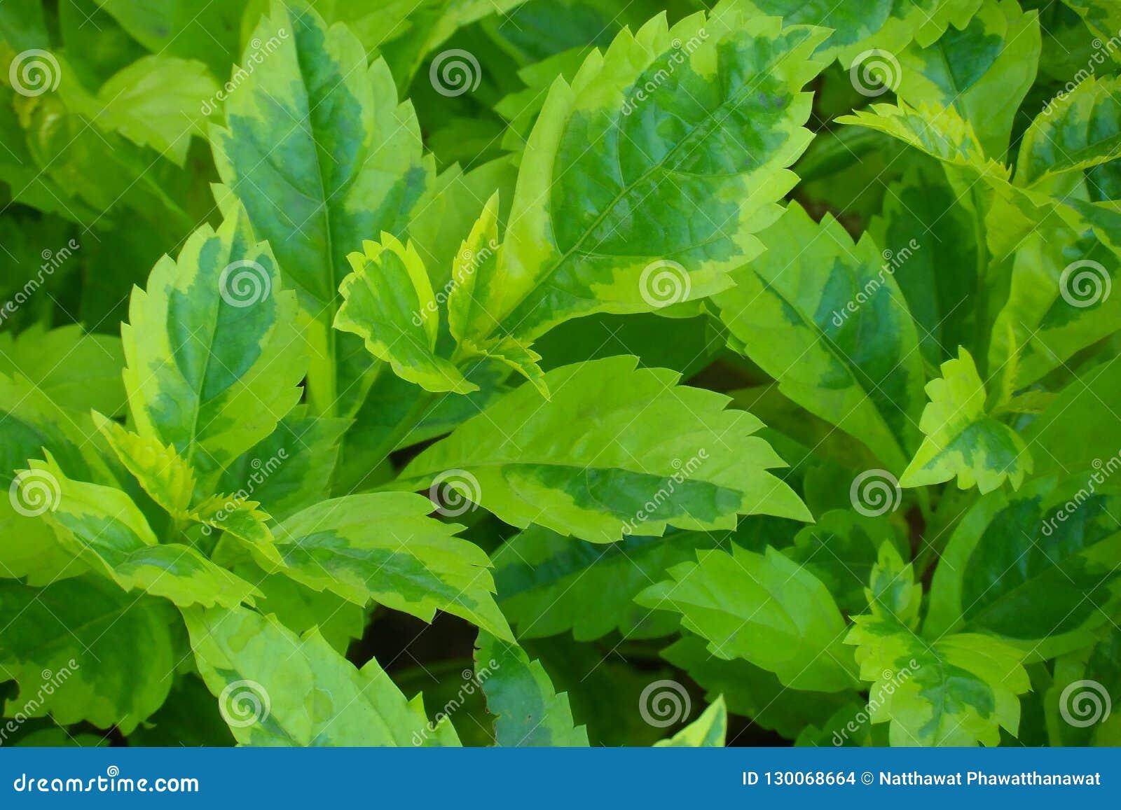 A planta de caricatura, folhas do ouro é igualmente um nome sagrado usado em várias propriedades auspiciosos Tratamento da dor, i