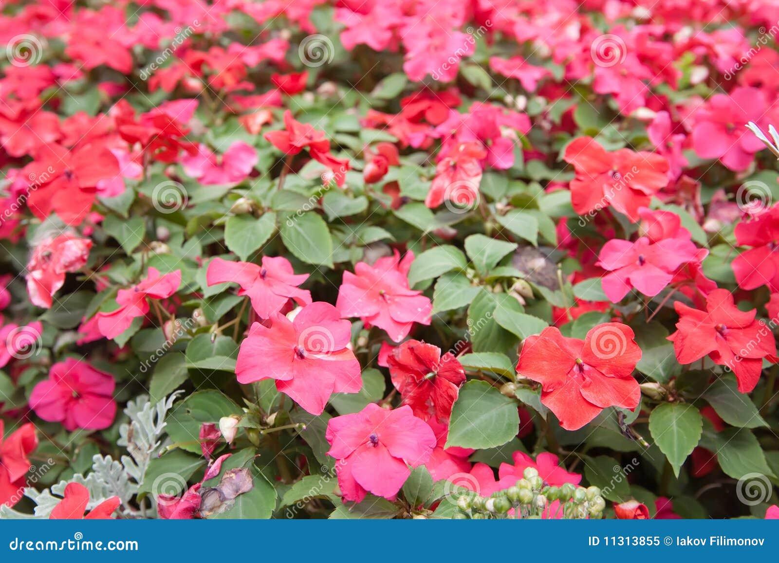 Planta de flores rojas foto de archivo libre de regal as for Plantas de interior hojas rojas