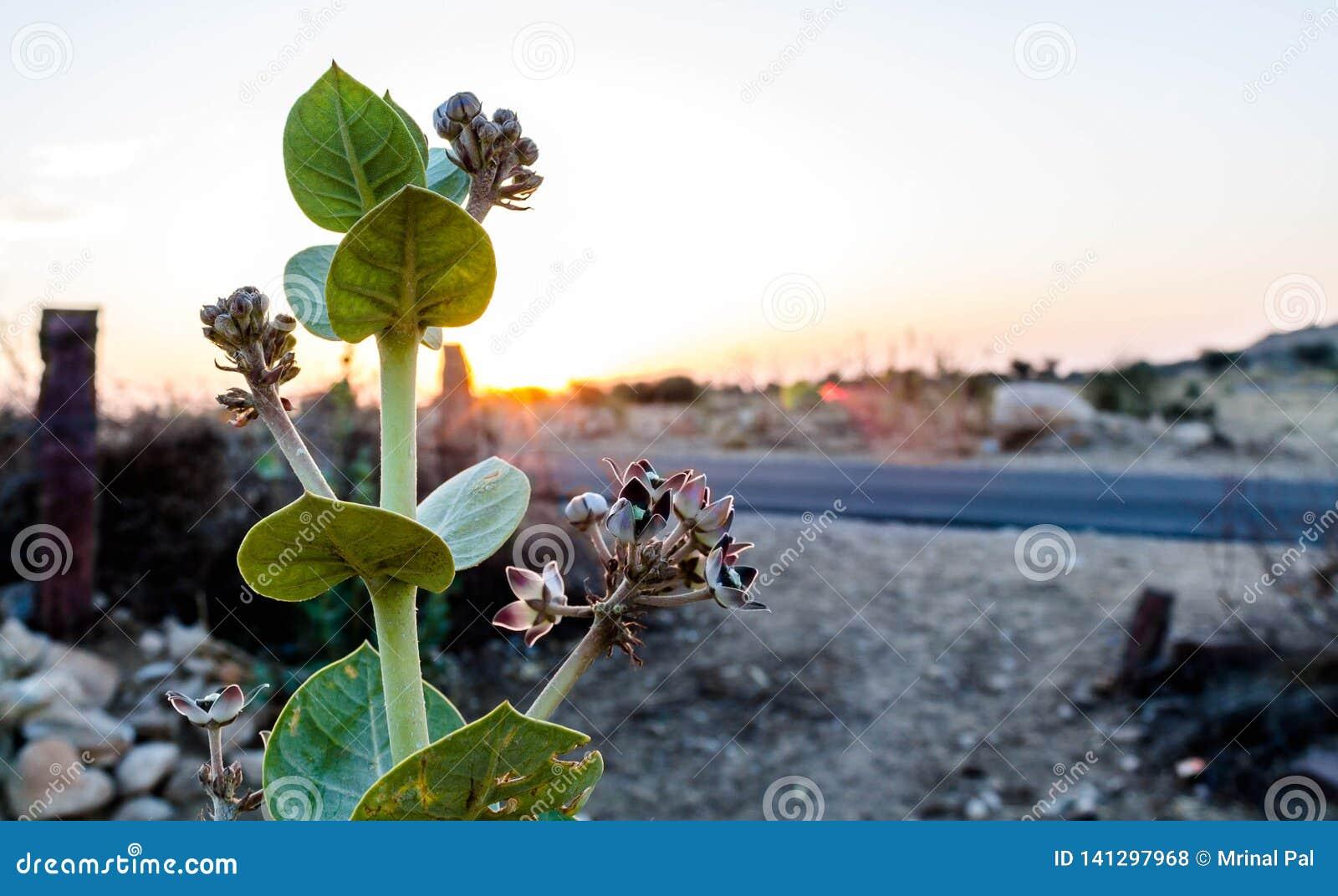 Planta de florescência de Calotropis