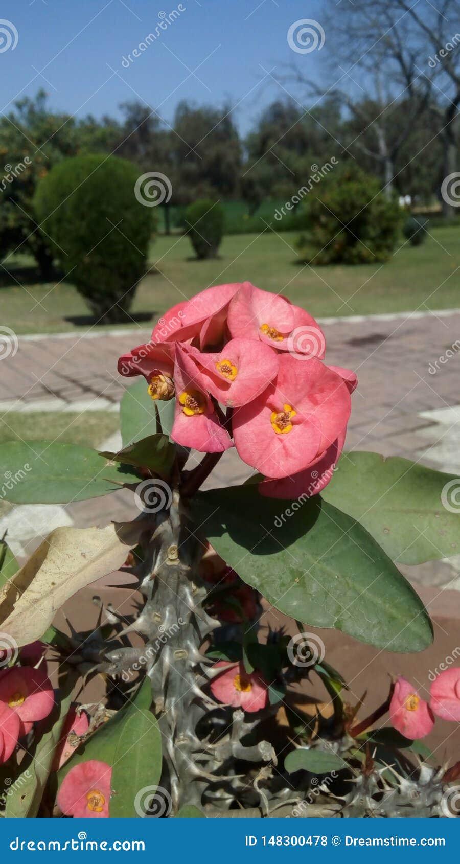Planta de florescência do milii do eufórbio, ano completo que floresce, coroa de espinhos