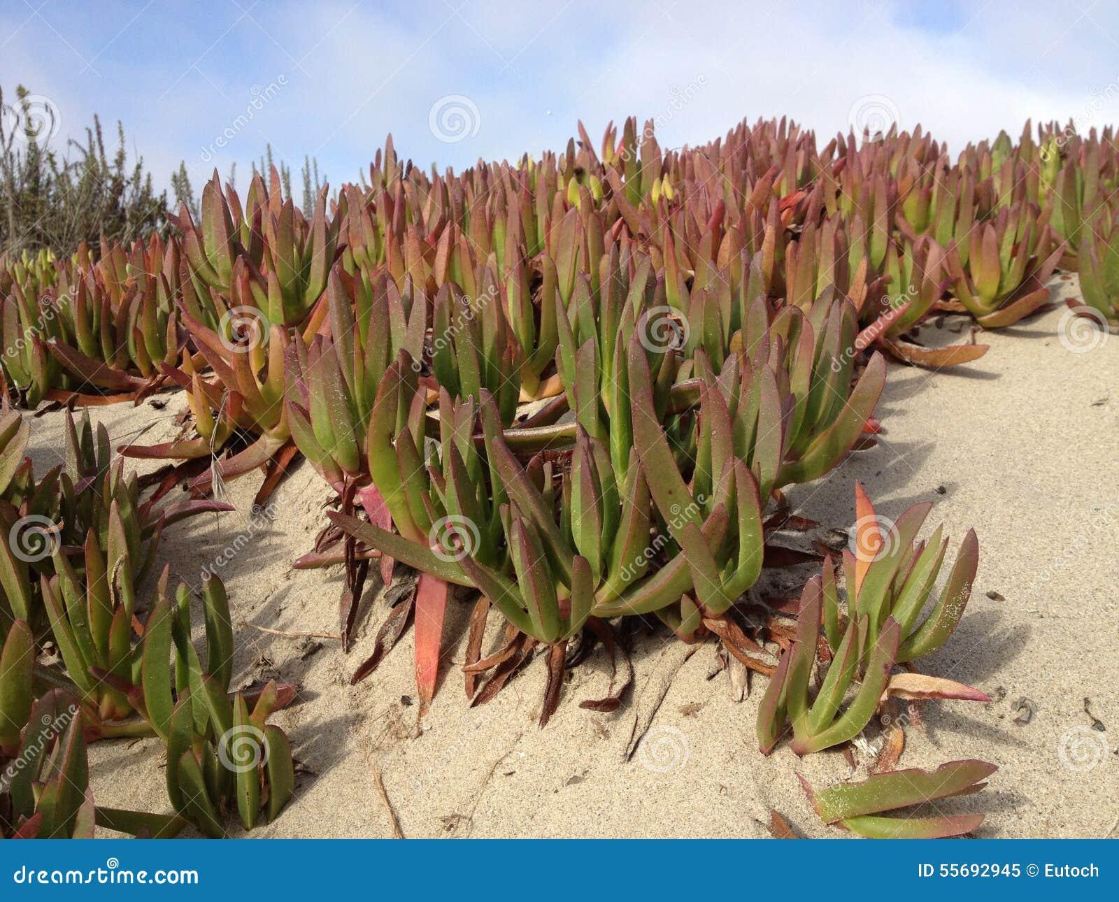Planta de gelo do tanoeiro (cooperi de Delosperma)