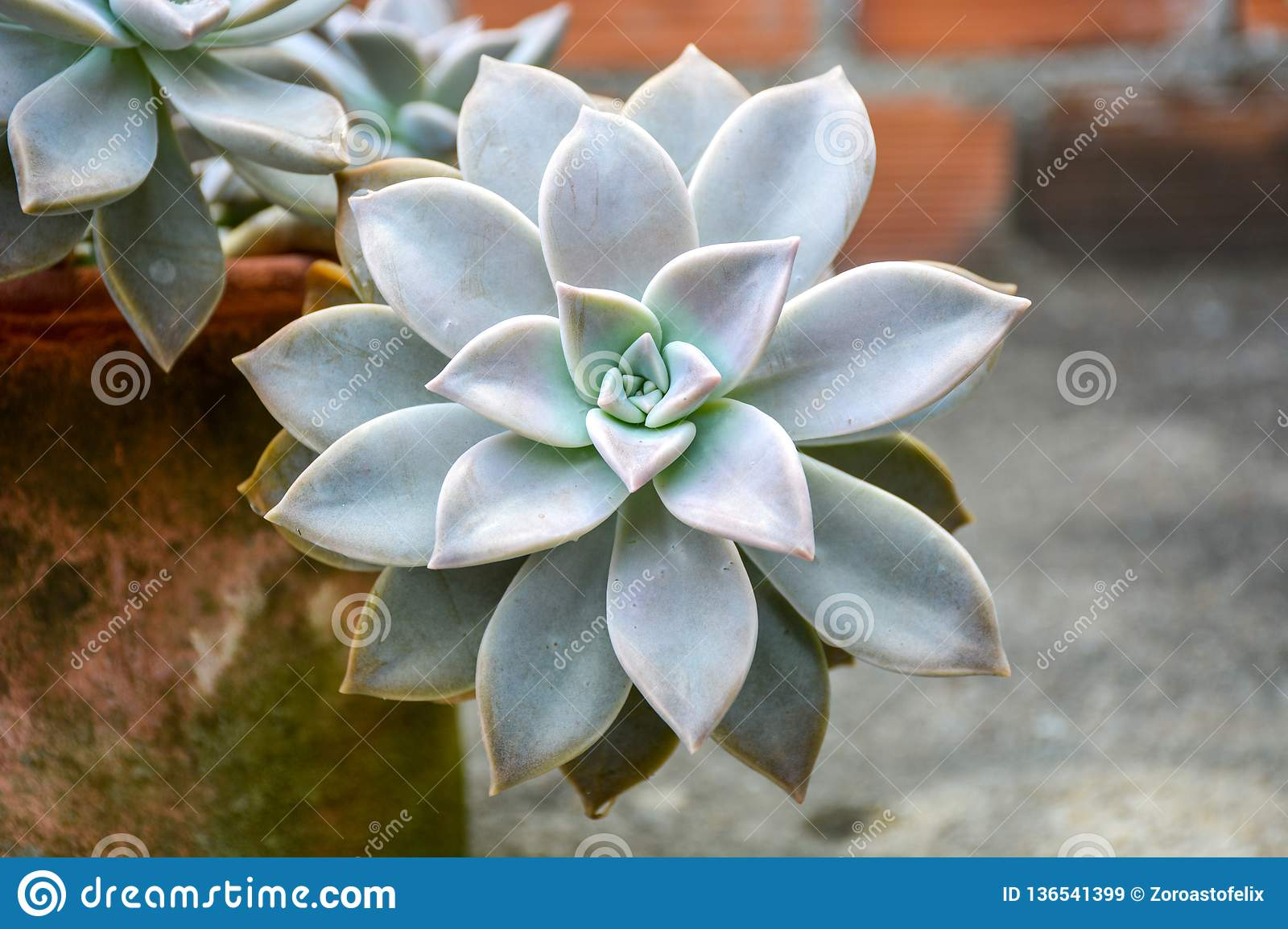 Planta de Ghost do paraguayense de Graptopetalum