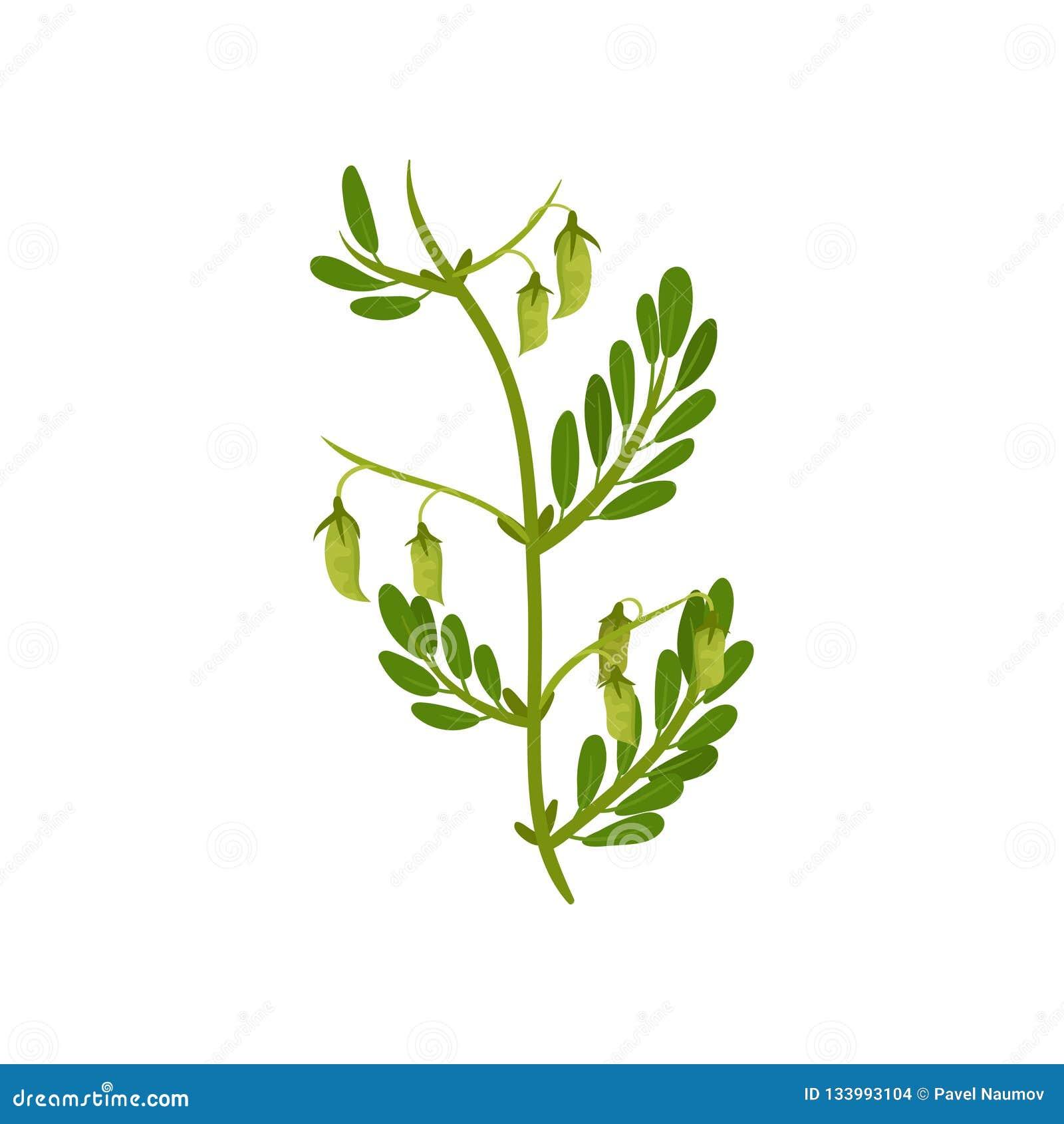Planta de grão-de-bico de florescência com folhas verdes Cultura leguminosa Colheita agrícola Projeto liso do vetor