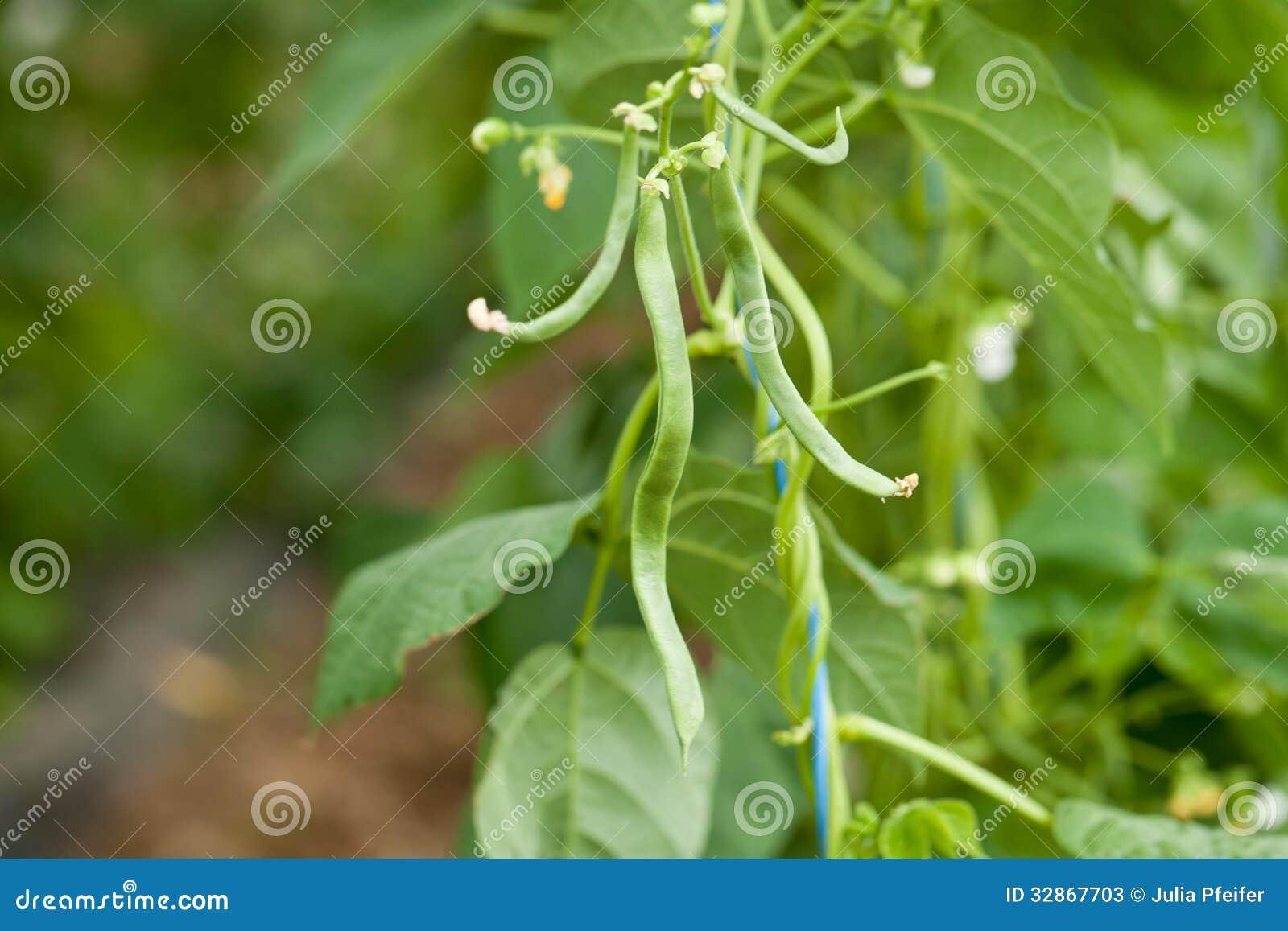 Planta de habas verdes fresca en primer macro del jardín en verano