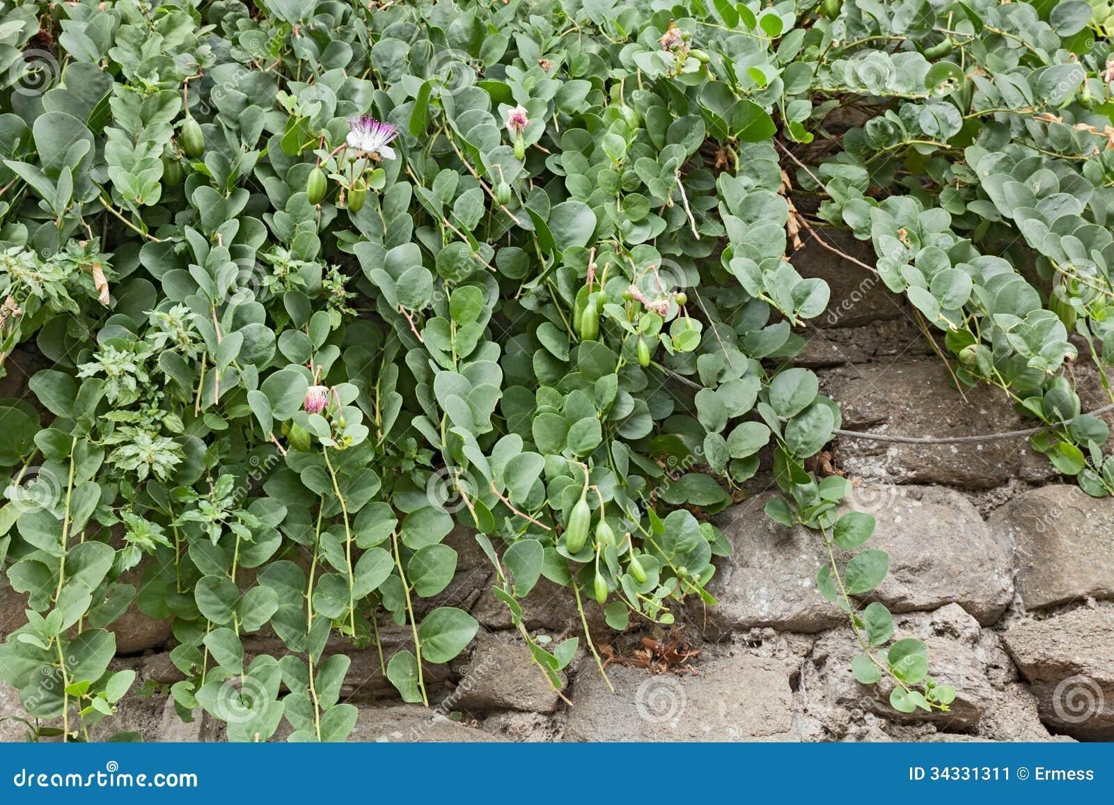 Planta de la alcaparra en la pared imagen de archivo for Plantas en la pared
