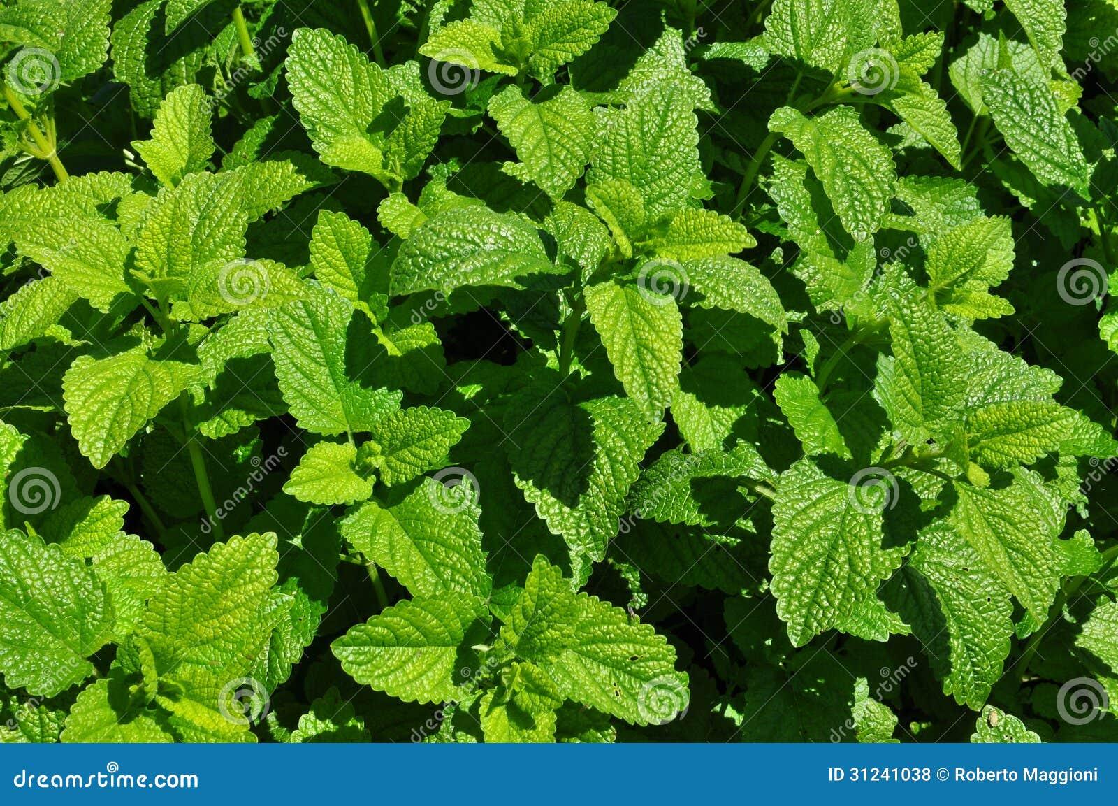 Planta de la menta verde