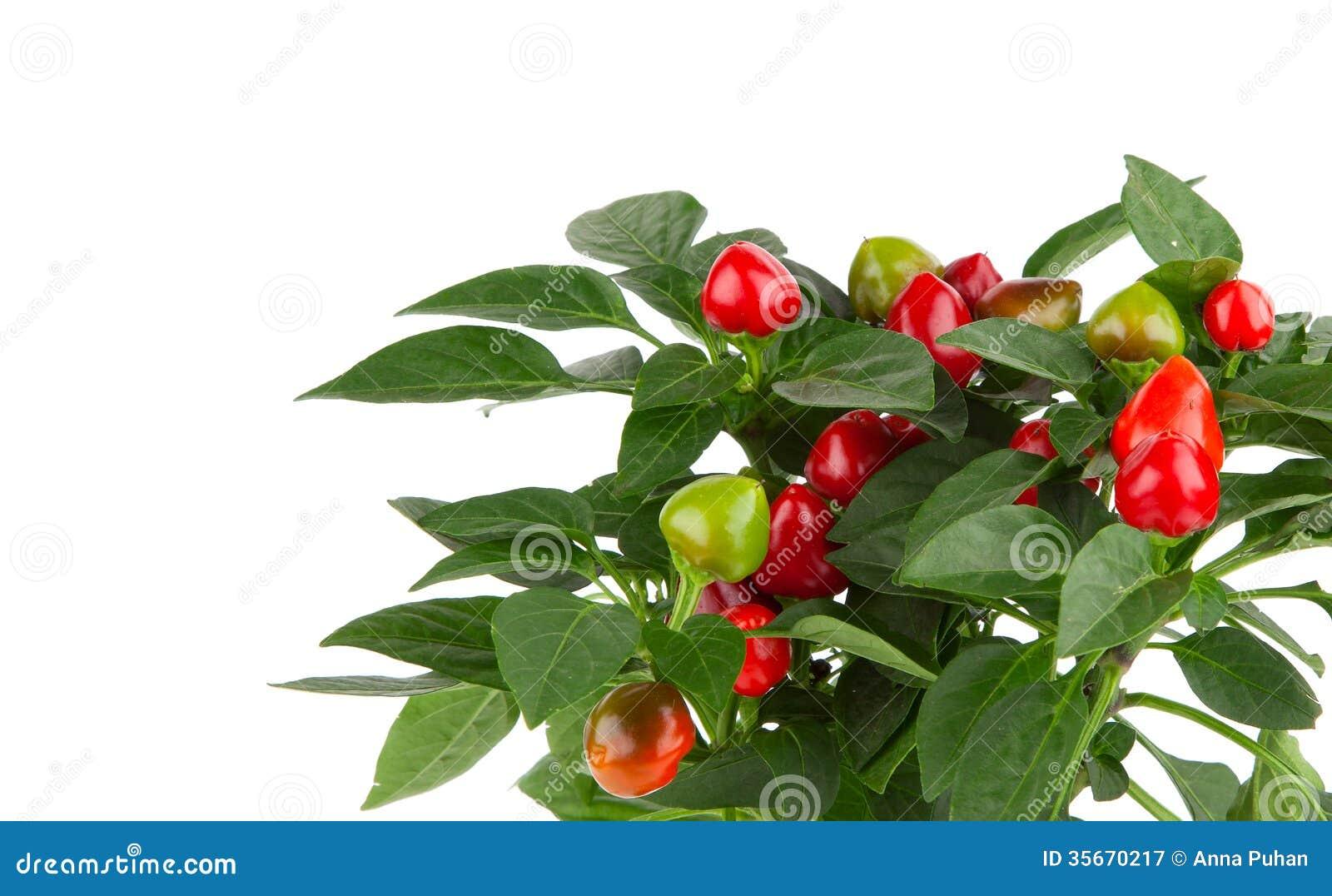 Planta de la pimienta de chile candente fotograf a de for Planta de chile