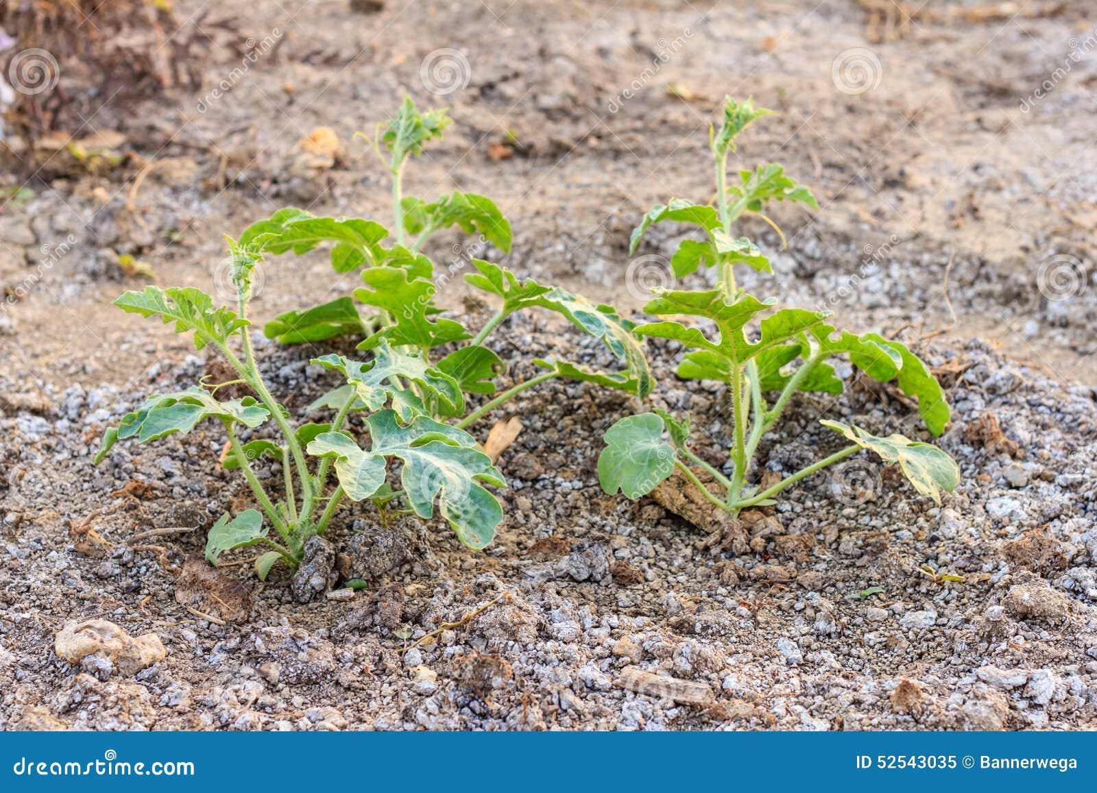 Planta de la sand a en un huerto foto de archivo imagen - Plantas de huerto ...