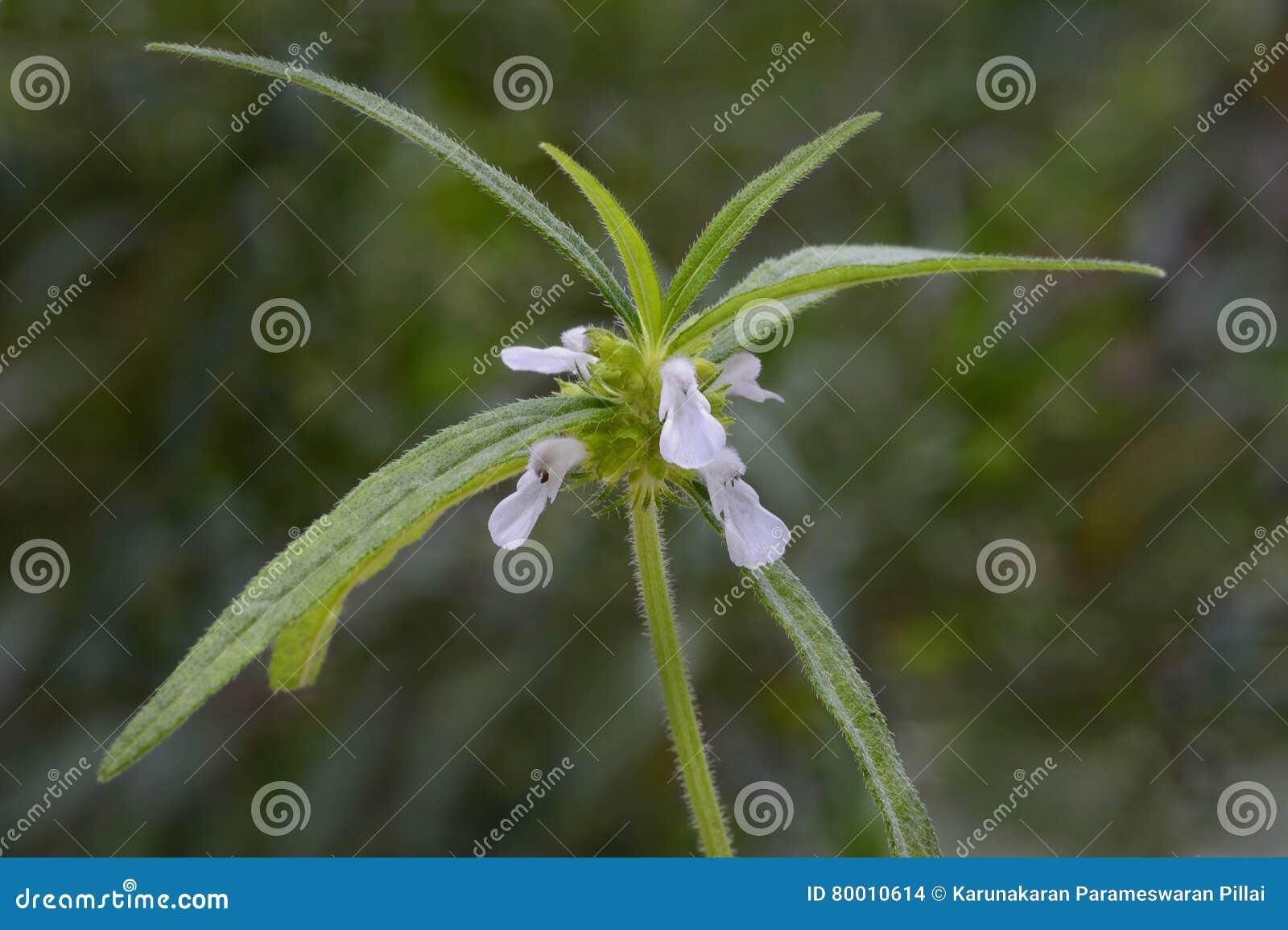 Planta de Leucas com flores