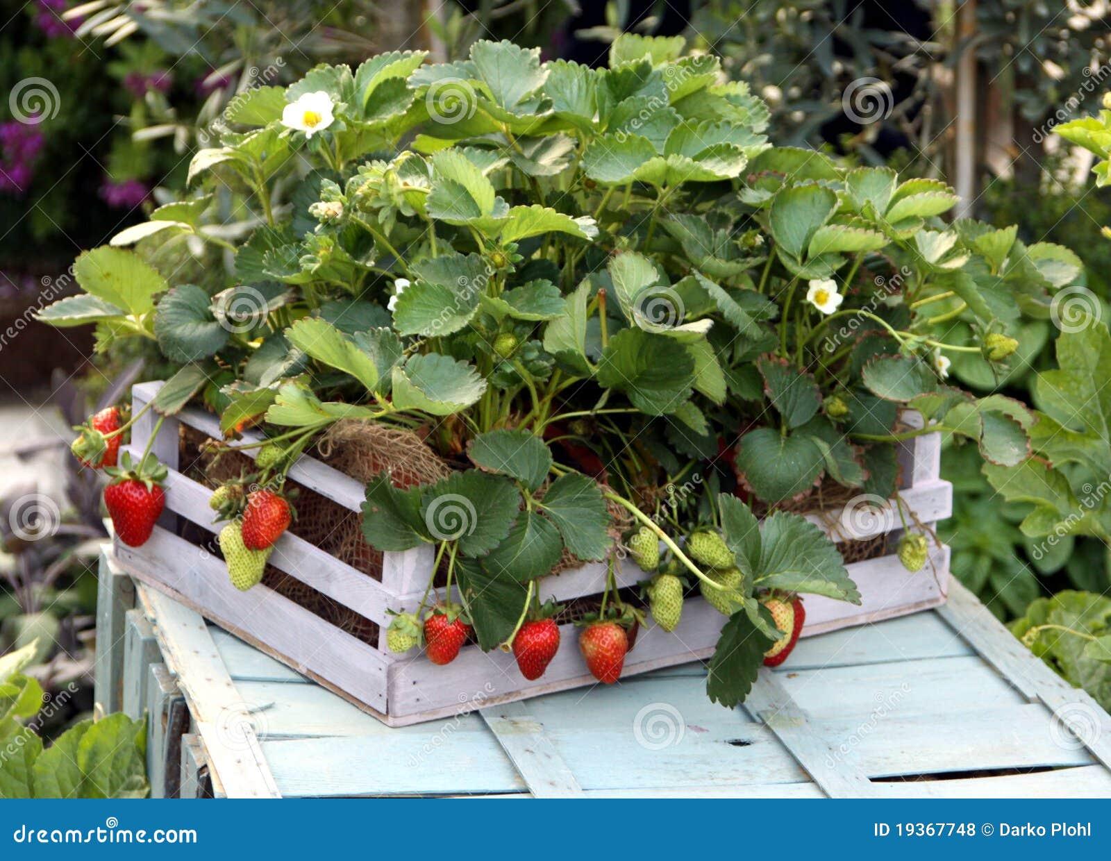 Planta de morango