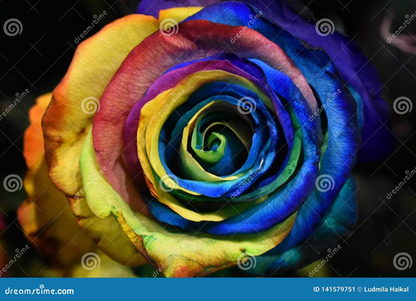 Planta de Rosa, flor colorido de Holambra Brasil