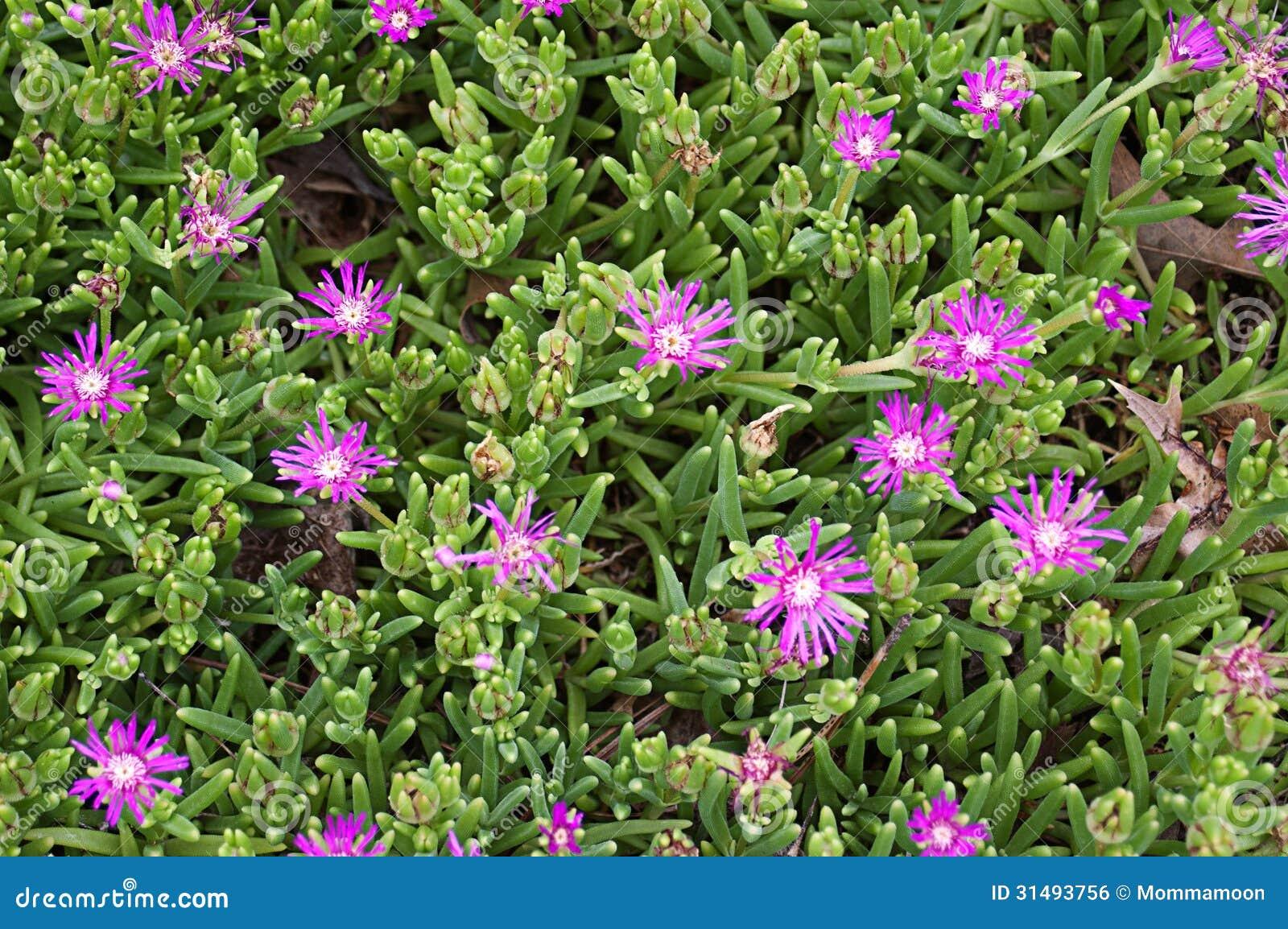 Planta de sedum com as flores roxas brilhantes foto de - Plantas pequenas de interior ...