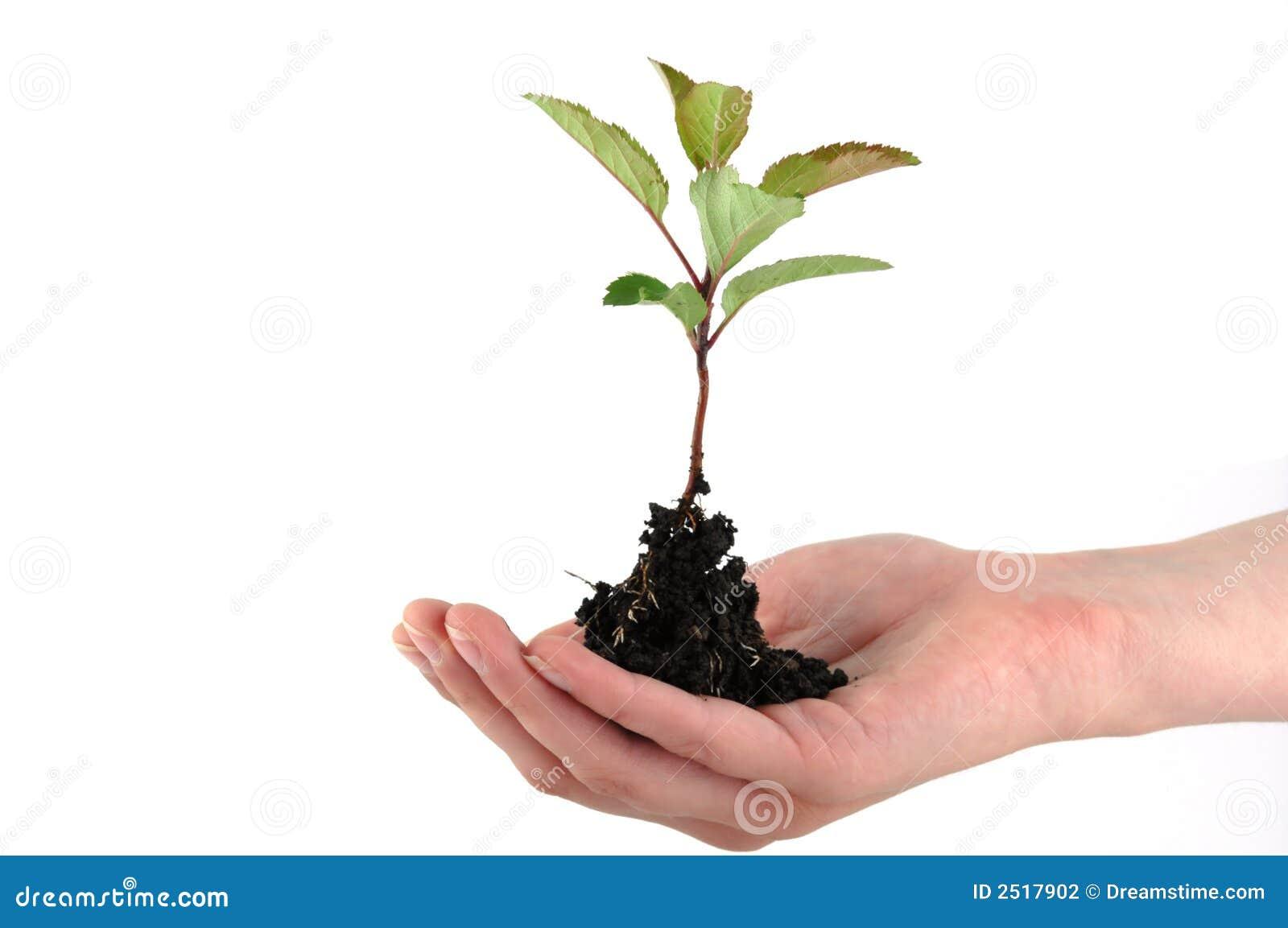 Planta de semillero blanda