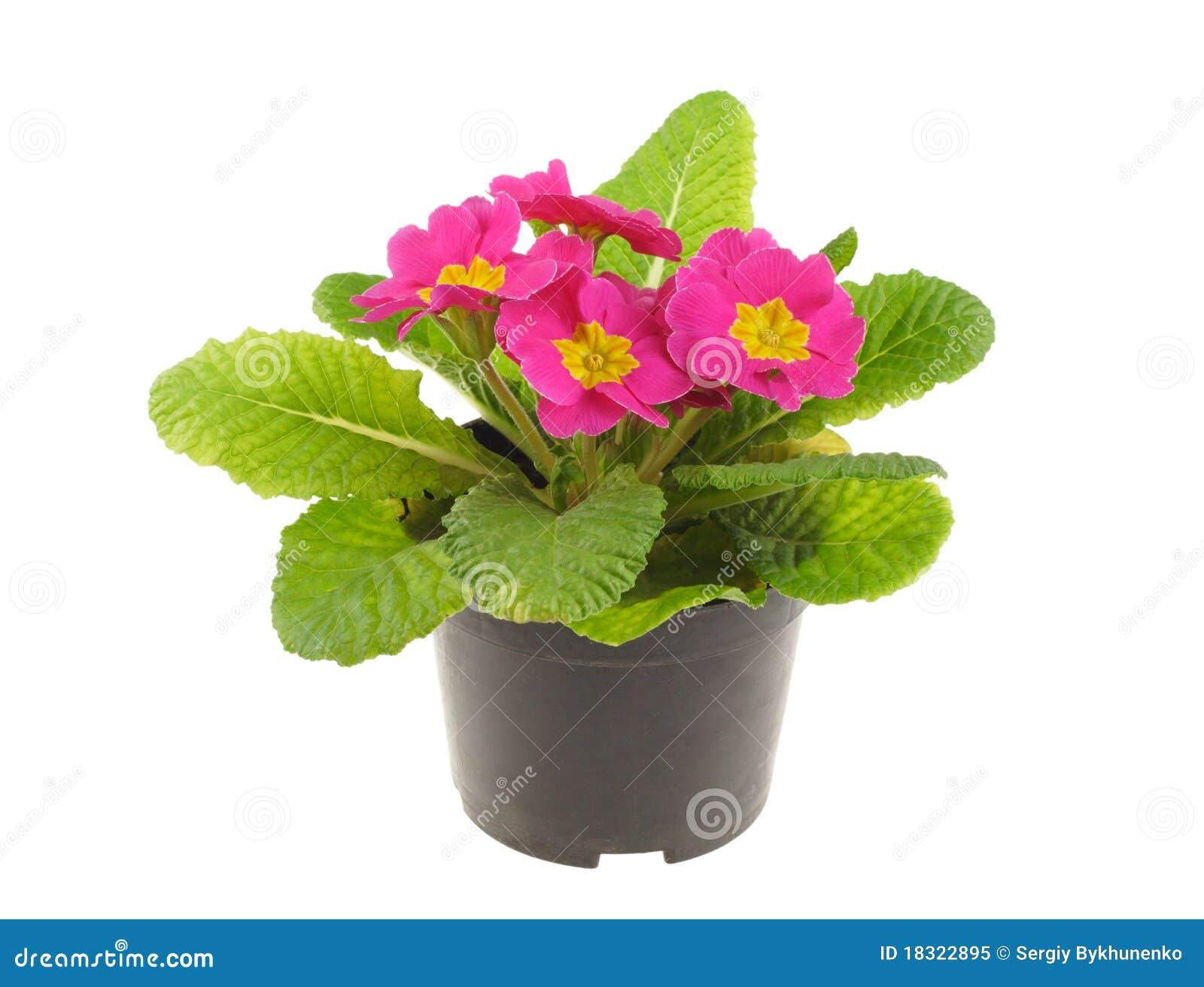 Planta de semillero de la primavera rosada imagen de - Plantas de temporada primavera ...