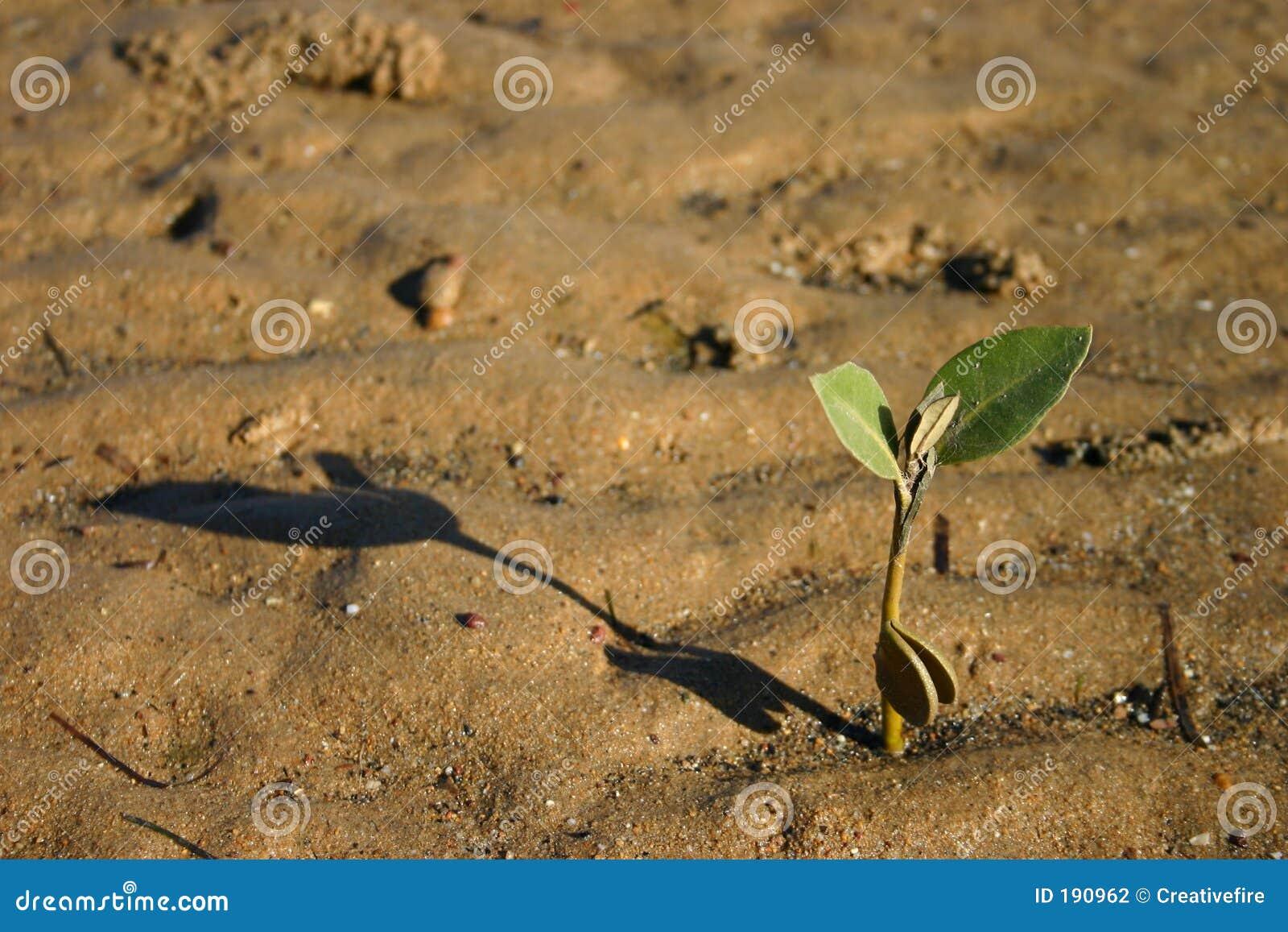 Planta de semillero del mangle