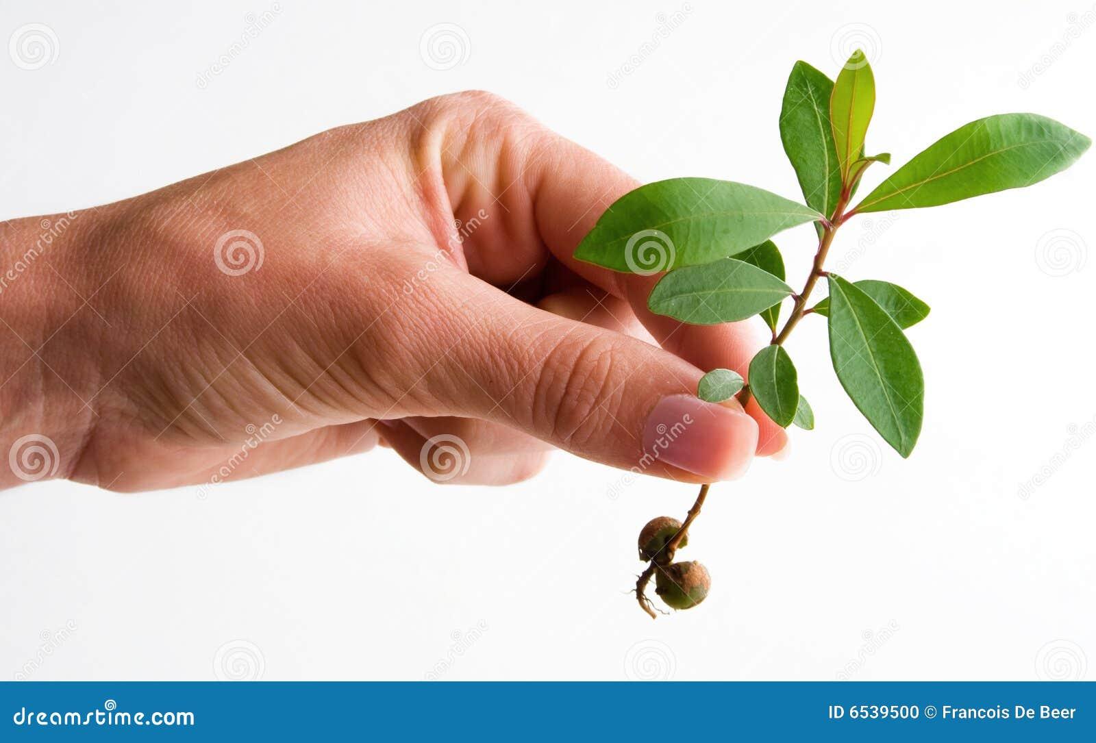 Planta de semillero femenina de la explotación agrícola