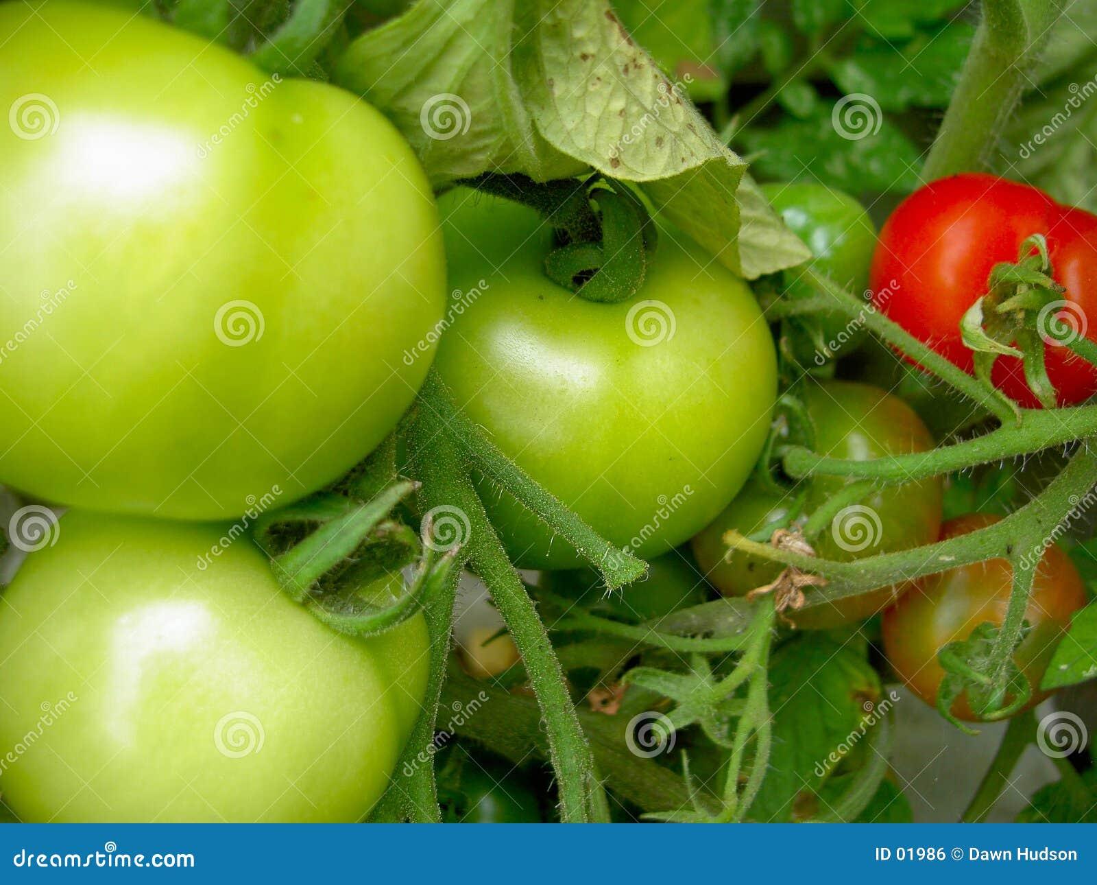 Planta de tomate inmadura
