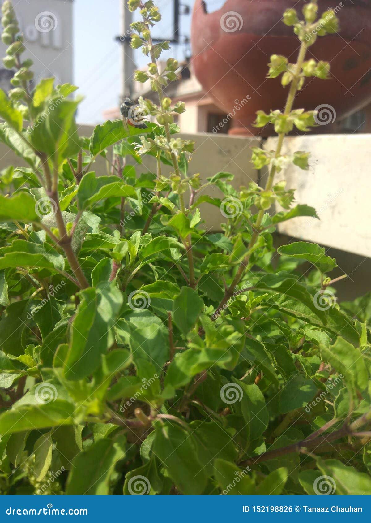 Planta de Tulsi con las abejas que alimentan en ella