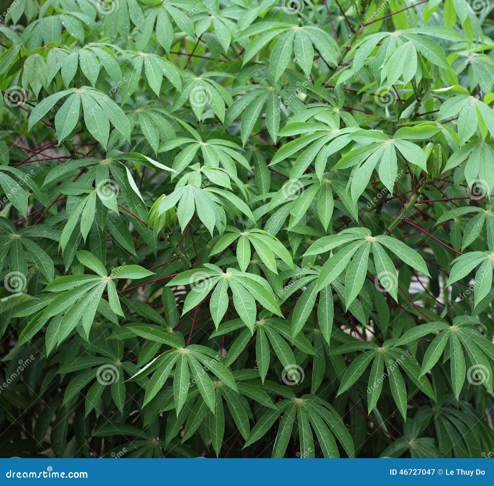 Planta de yuca foto de archivo imagen 46727047 for Yuca planta de exterior