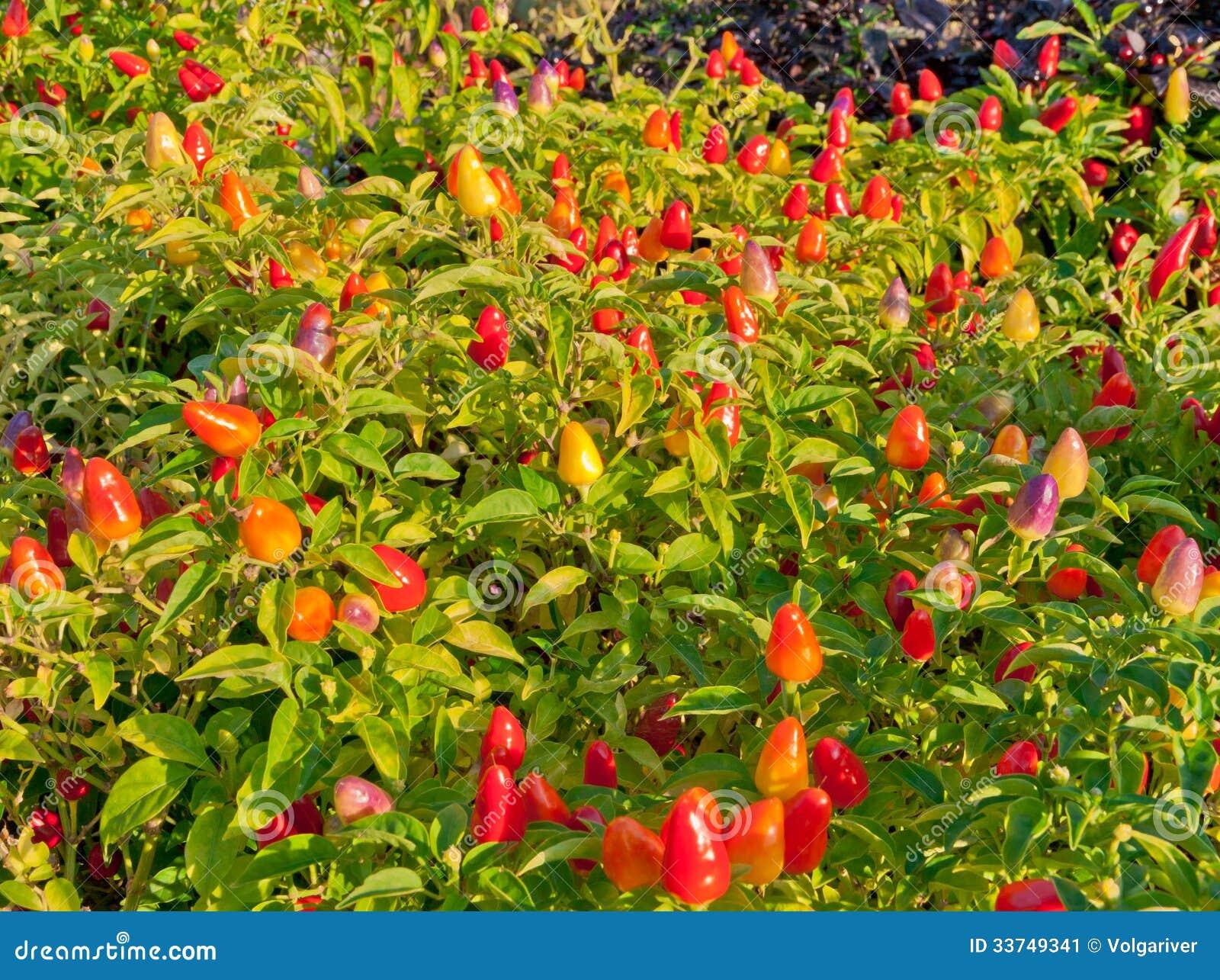 Planta Decorativa Da Pimenta Em Um Jardim Imagem de Stock  Imagem