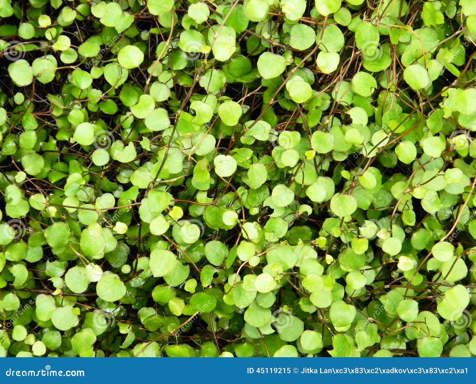Planta decorativa das folhas pequenas imagem de stock - Plantas de interior pequenas ...