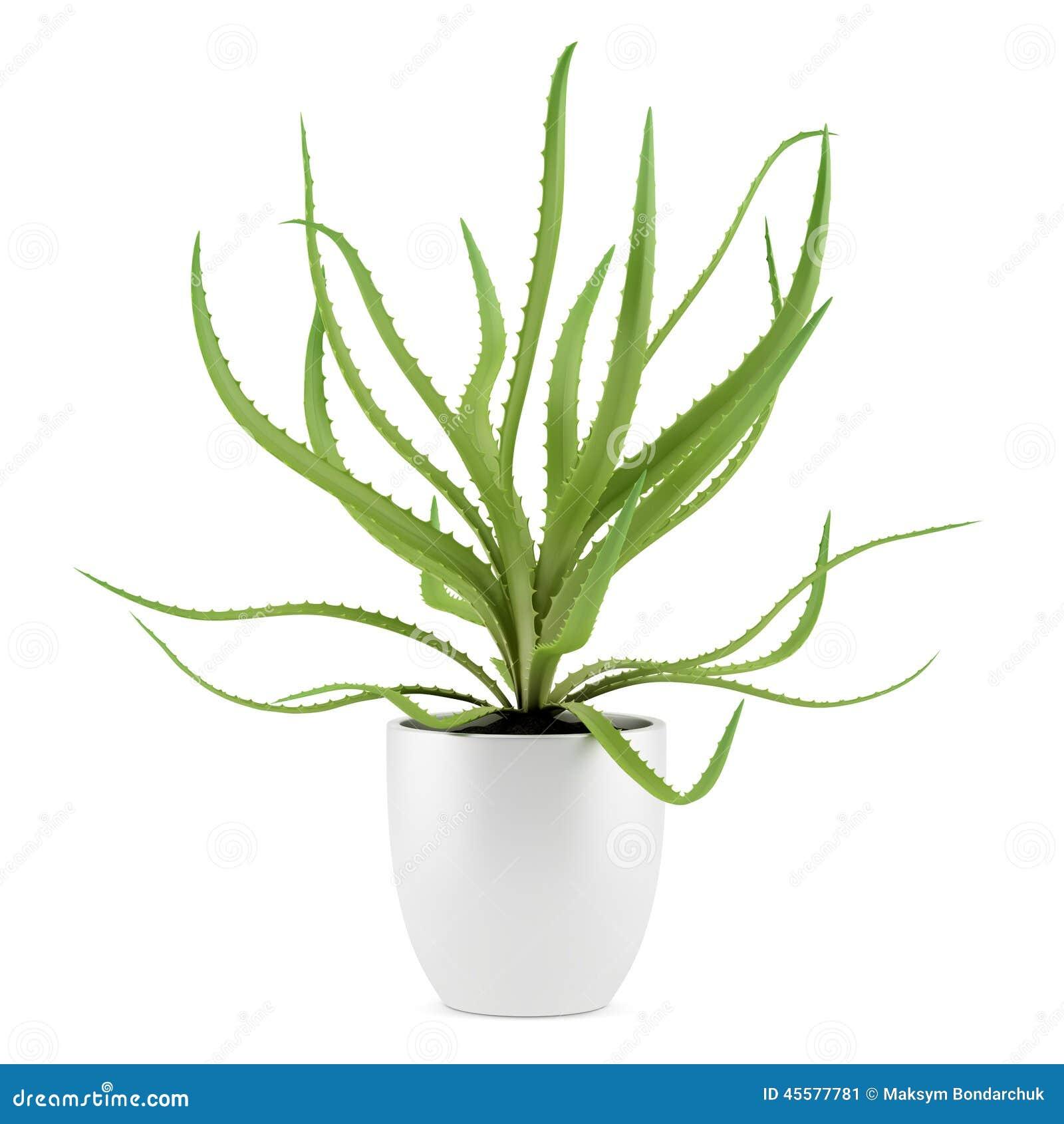 Planta del áloe en el pote aislado en blanco