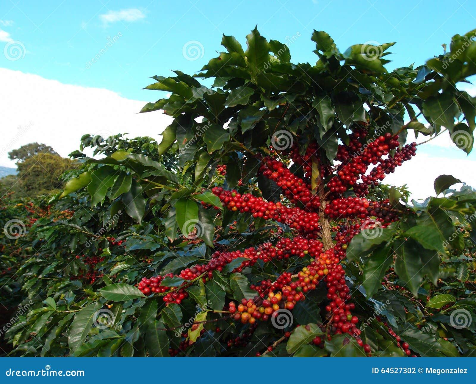 planta del café con las grandes frutas foto de archivo imagen de