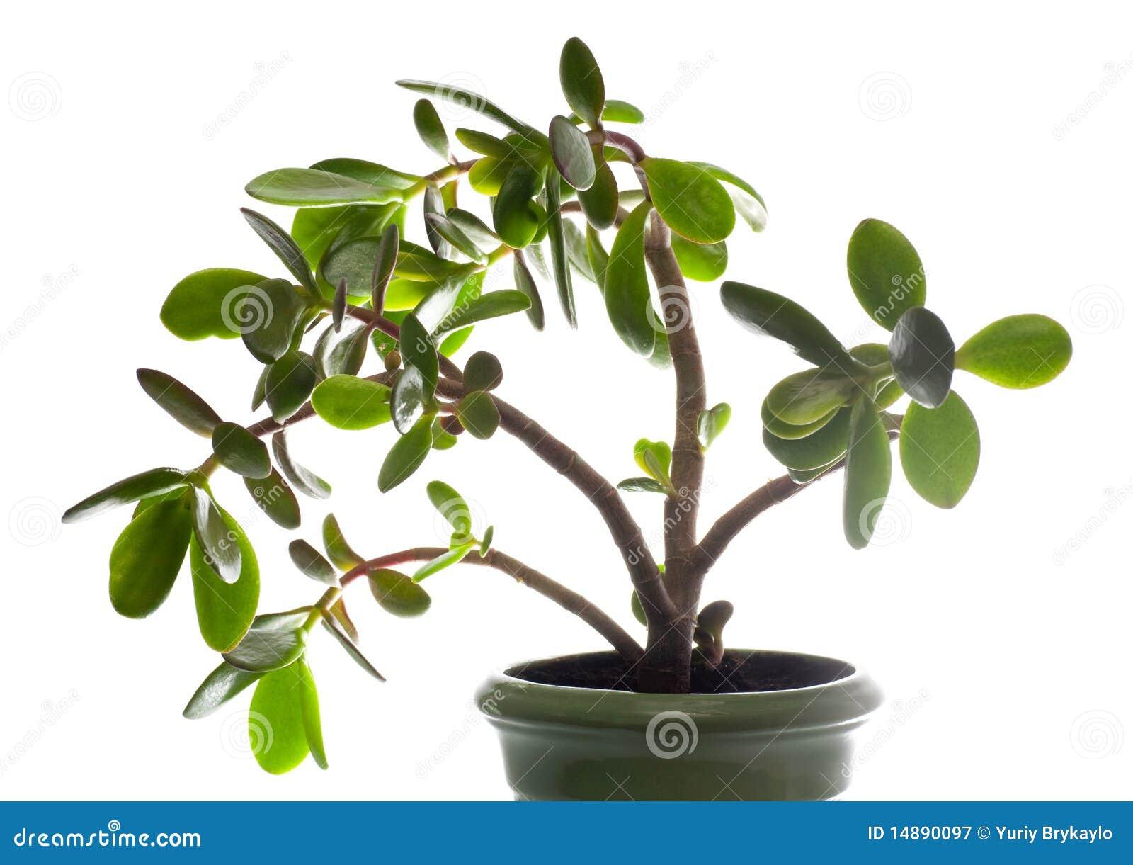 planta jade aislado en blanco esta planta se conoce para ser un gran #8CB417 1300 1009