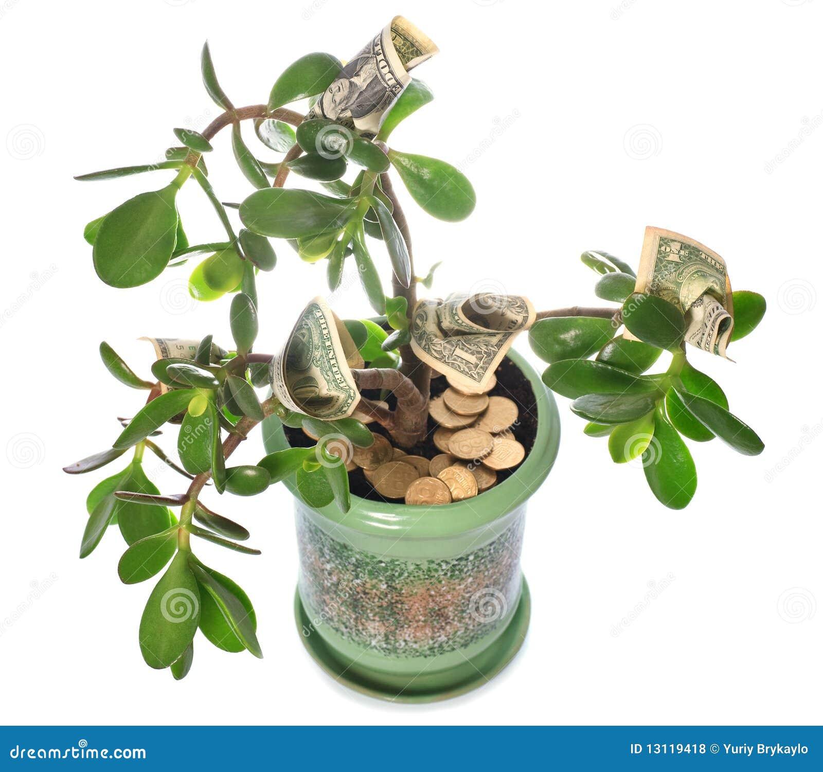 Planta del jade con las cuentas de d lar aisladas en for Planta del dinero feng shui