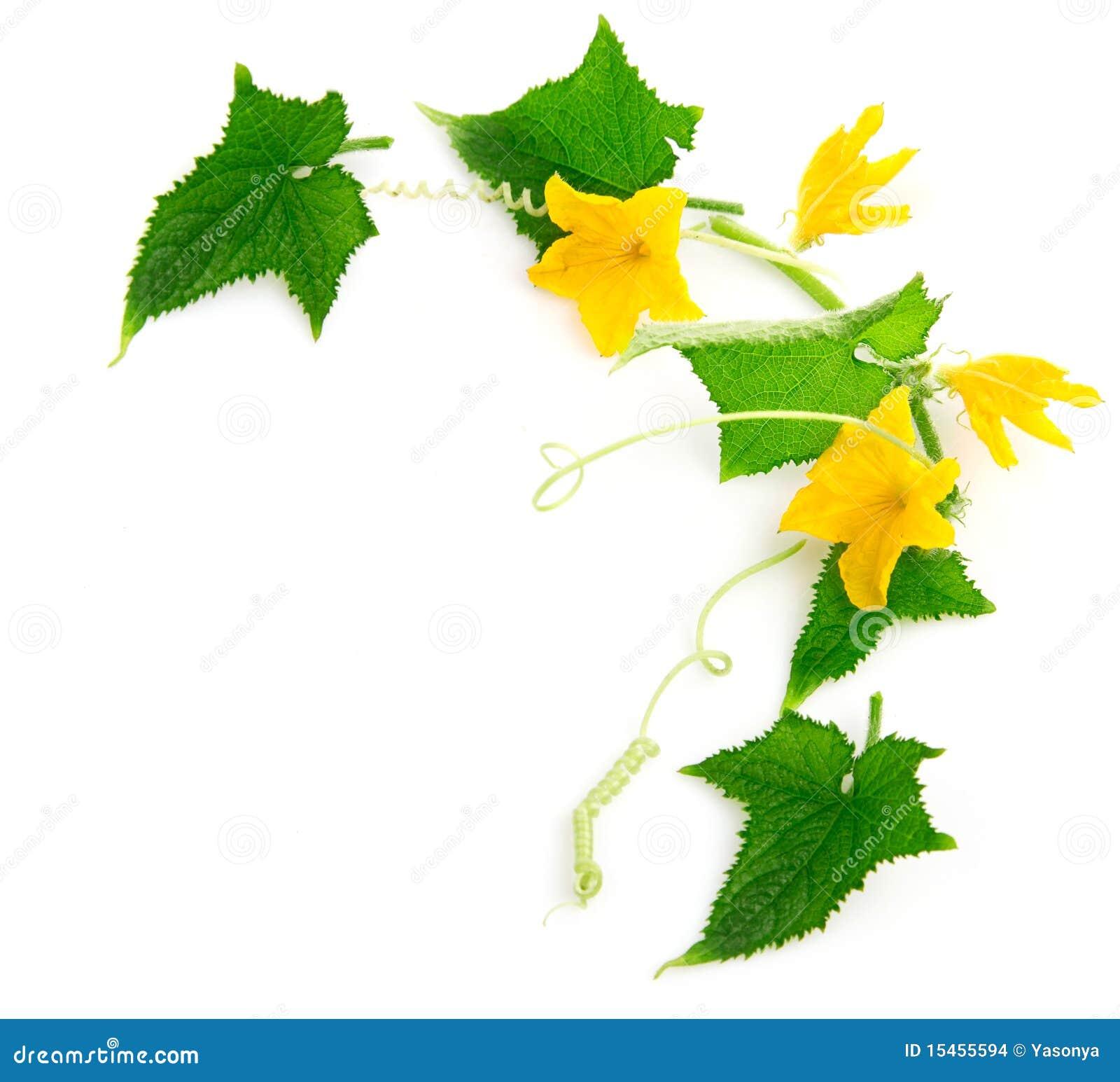 Planta del pepino de la ramificación con las flores