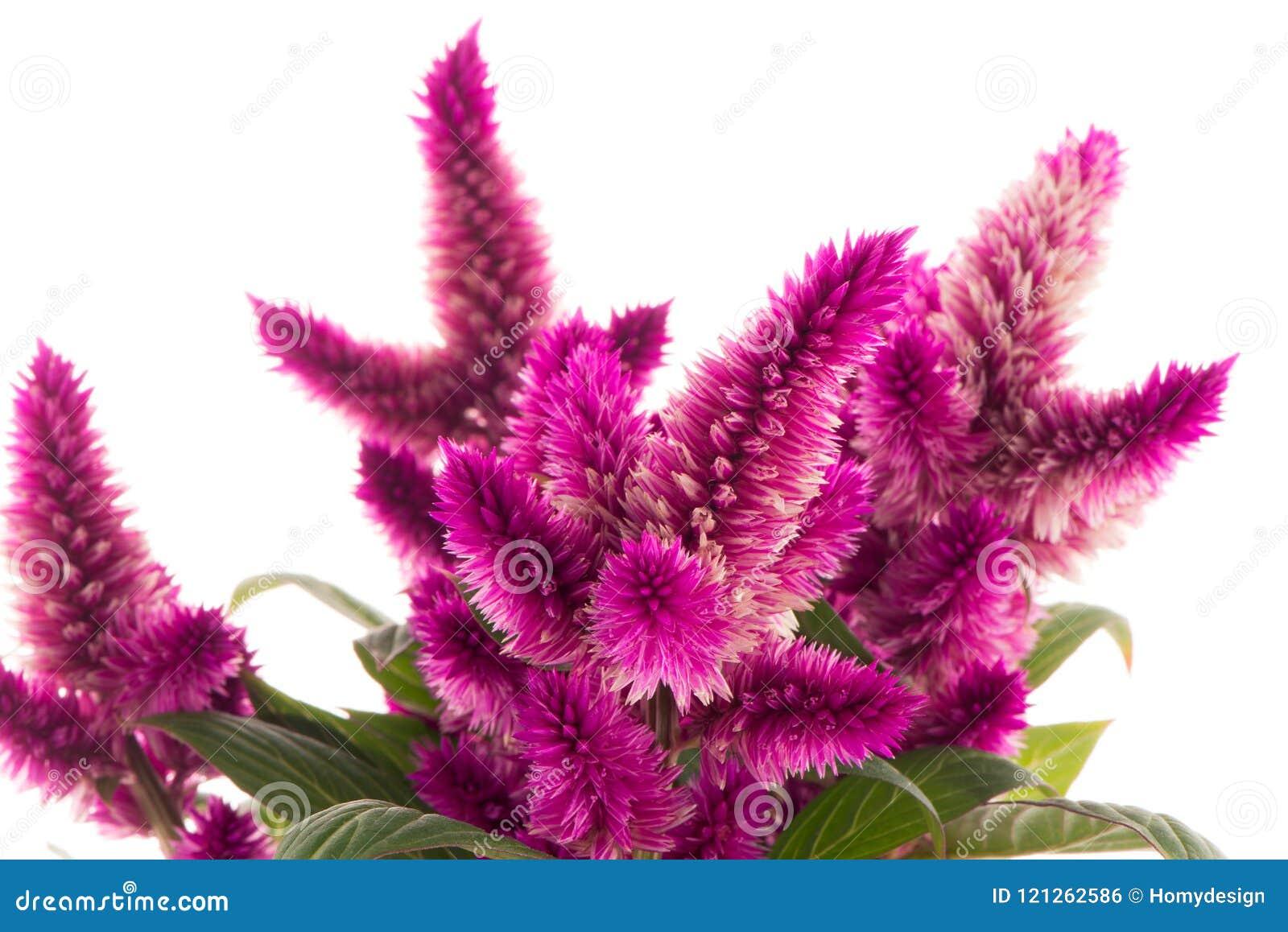Celosia Planta De Gayo