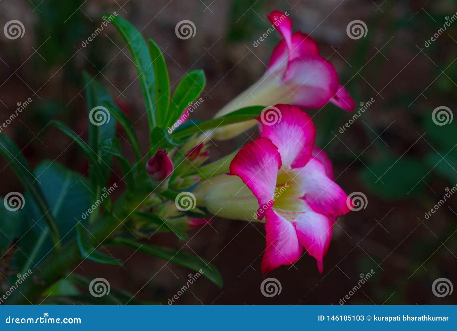 A planta do adenium