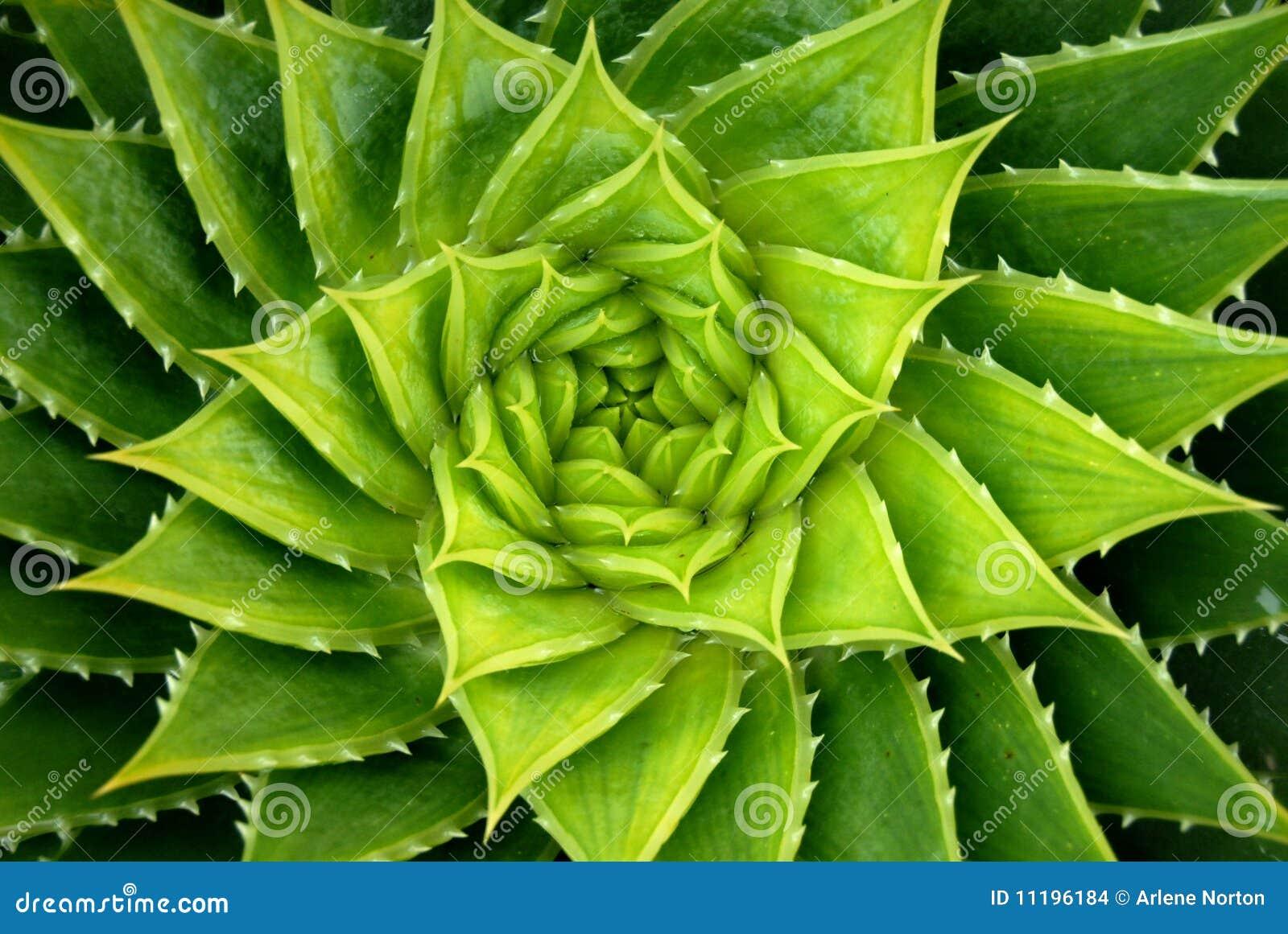 Planta do aloés da espiral do verde vívido