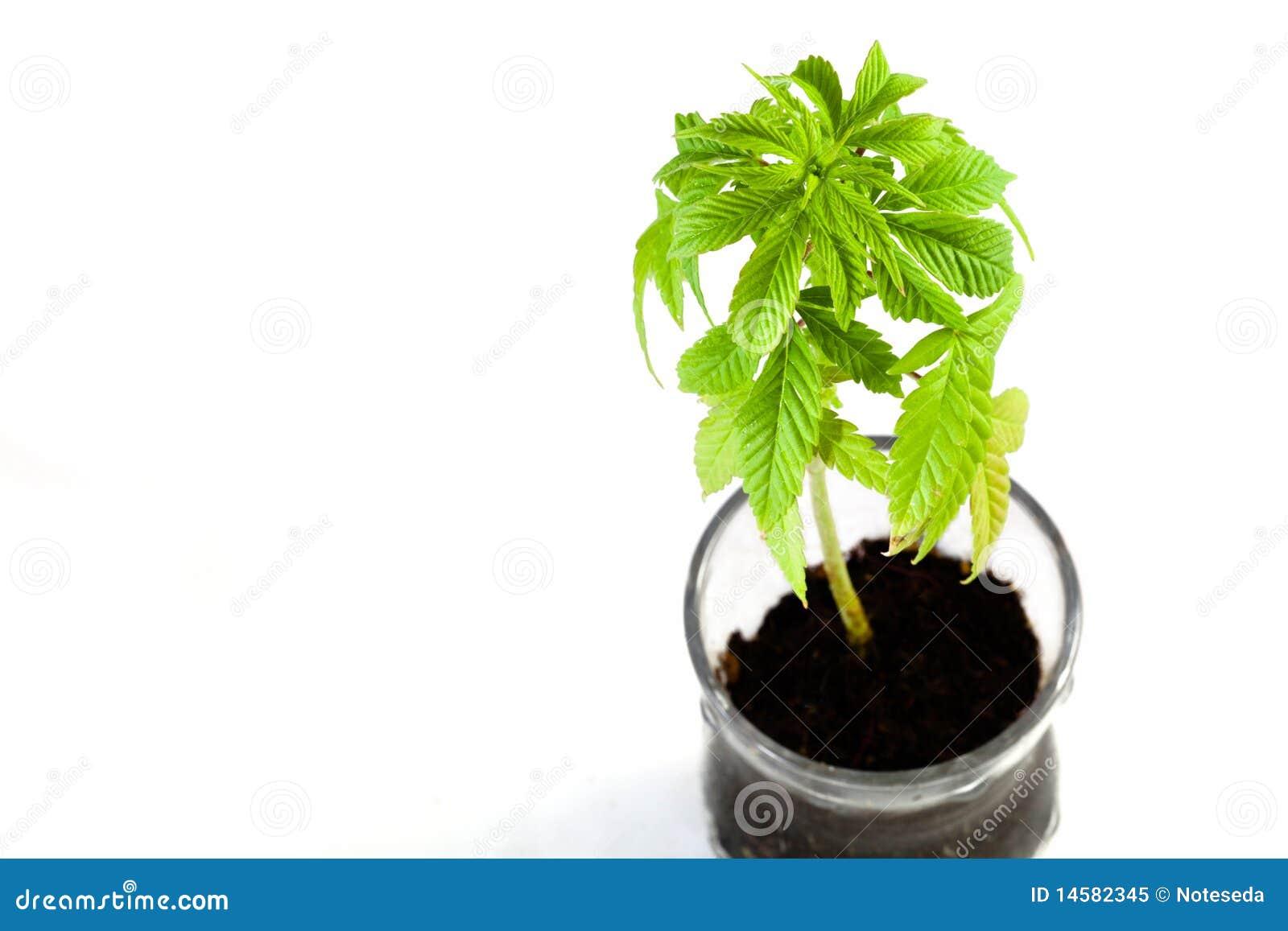 Planta do cannabis