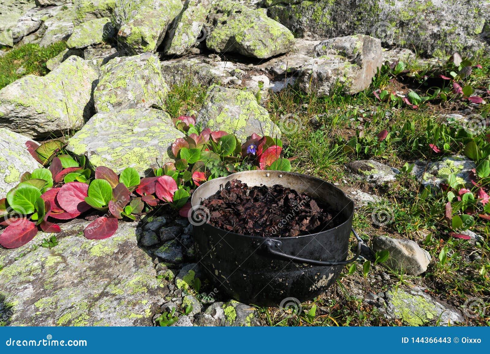 Planta do cordifolia do Bergenia Chá de ervas de acampamento em um potenciômetro