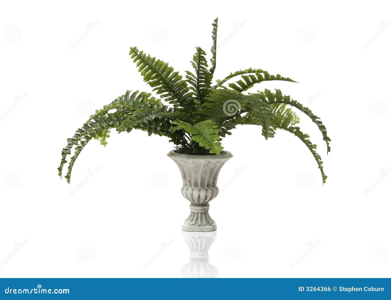Planta do Fern
