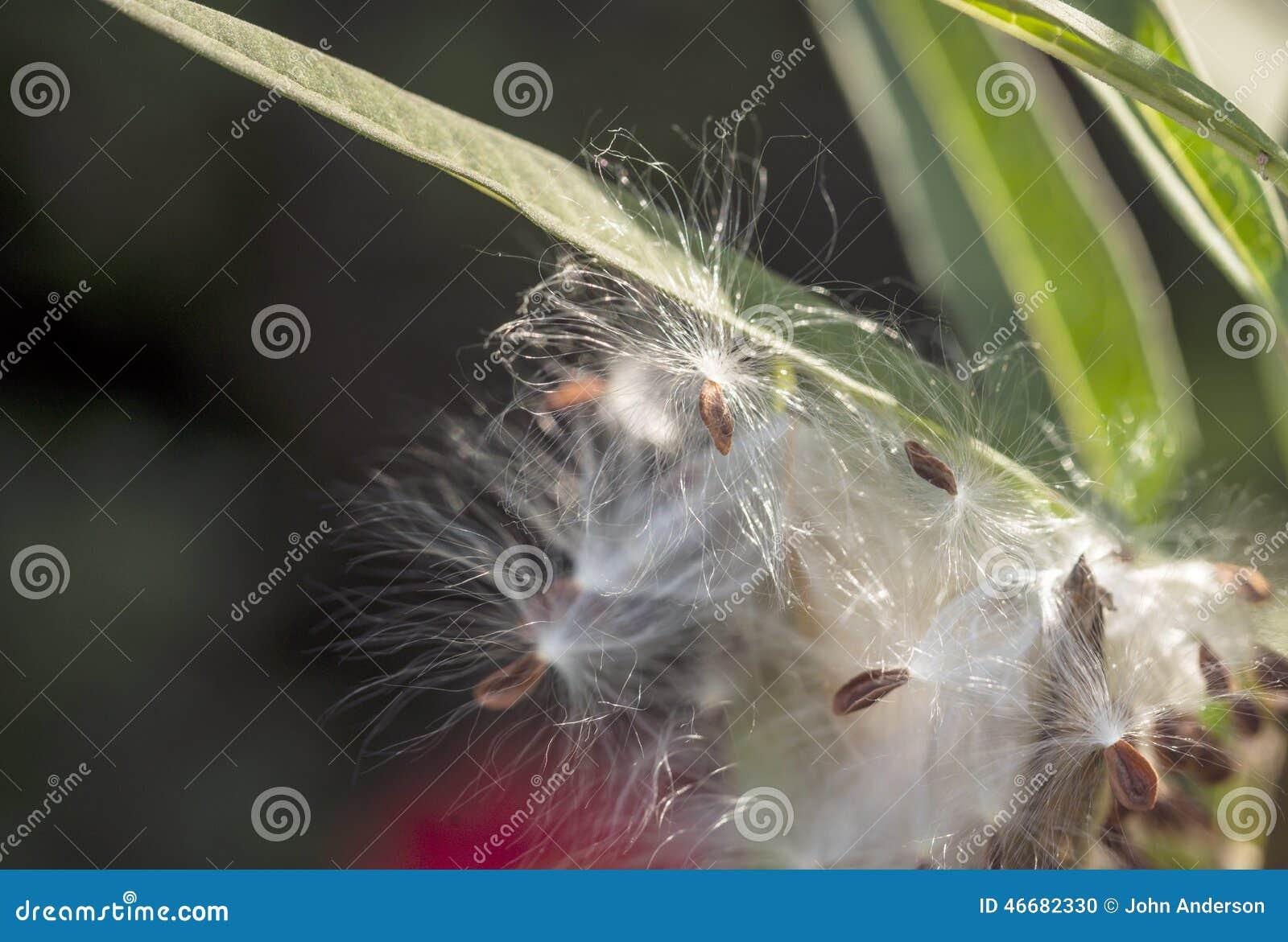 Planta do Milkweed, Asclepias  Tuberosa