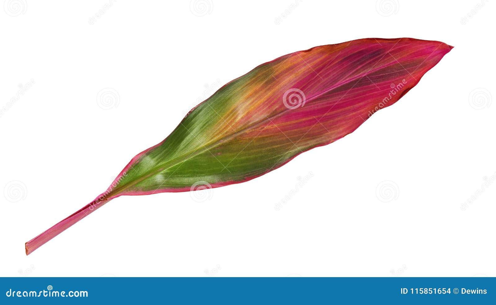 Planta do si ou de fruticosa do Cordyline folhas, folha colorida, folha tropical exótica, isolada no fundo branco com trajeto de
