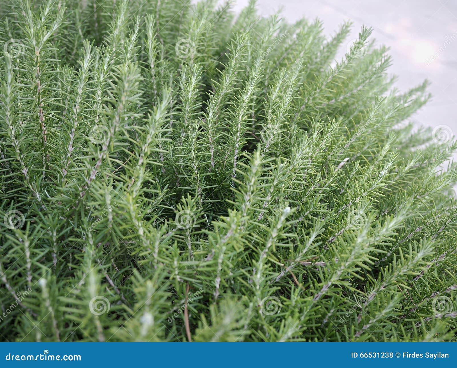 Planta do tomilho no jardim foto de stock imagem 66531238 for Que es arquitectura wikipedia