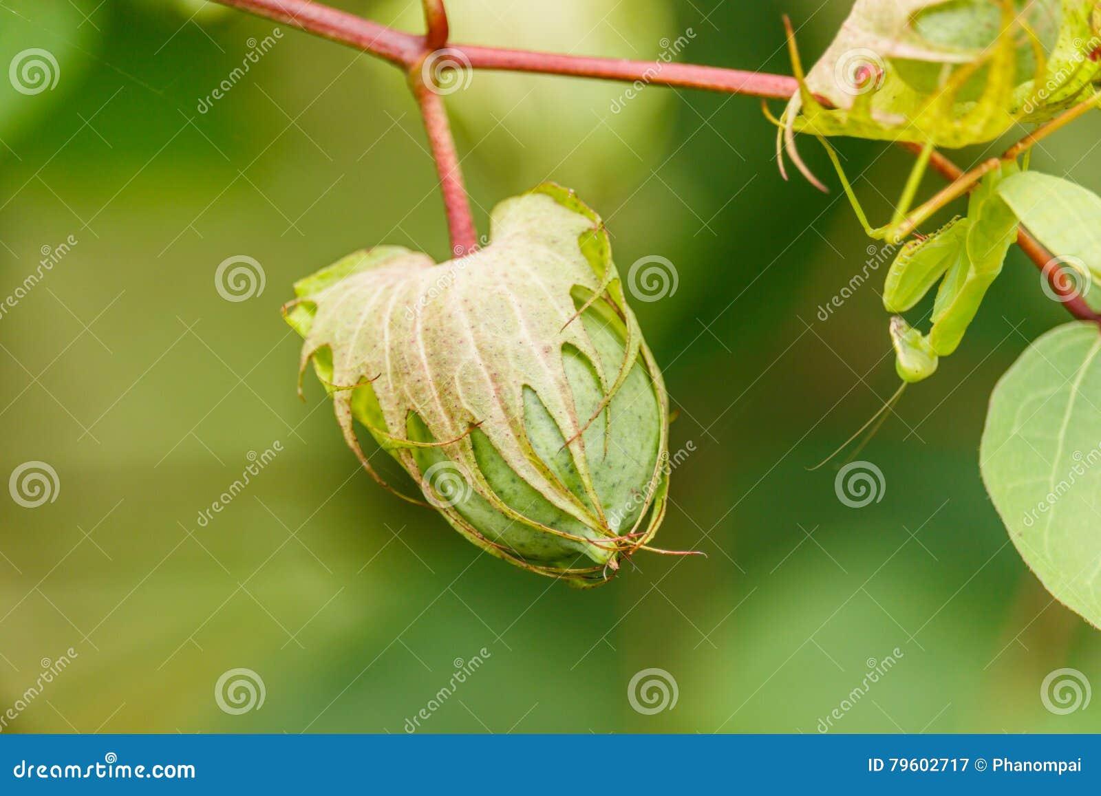 Planta e semente de algodão