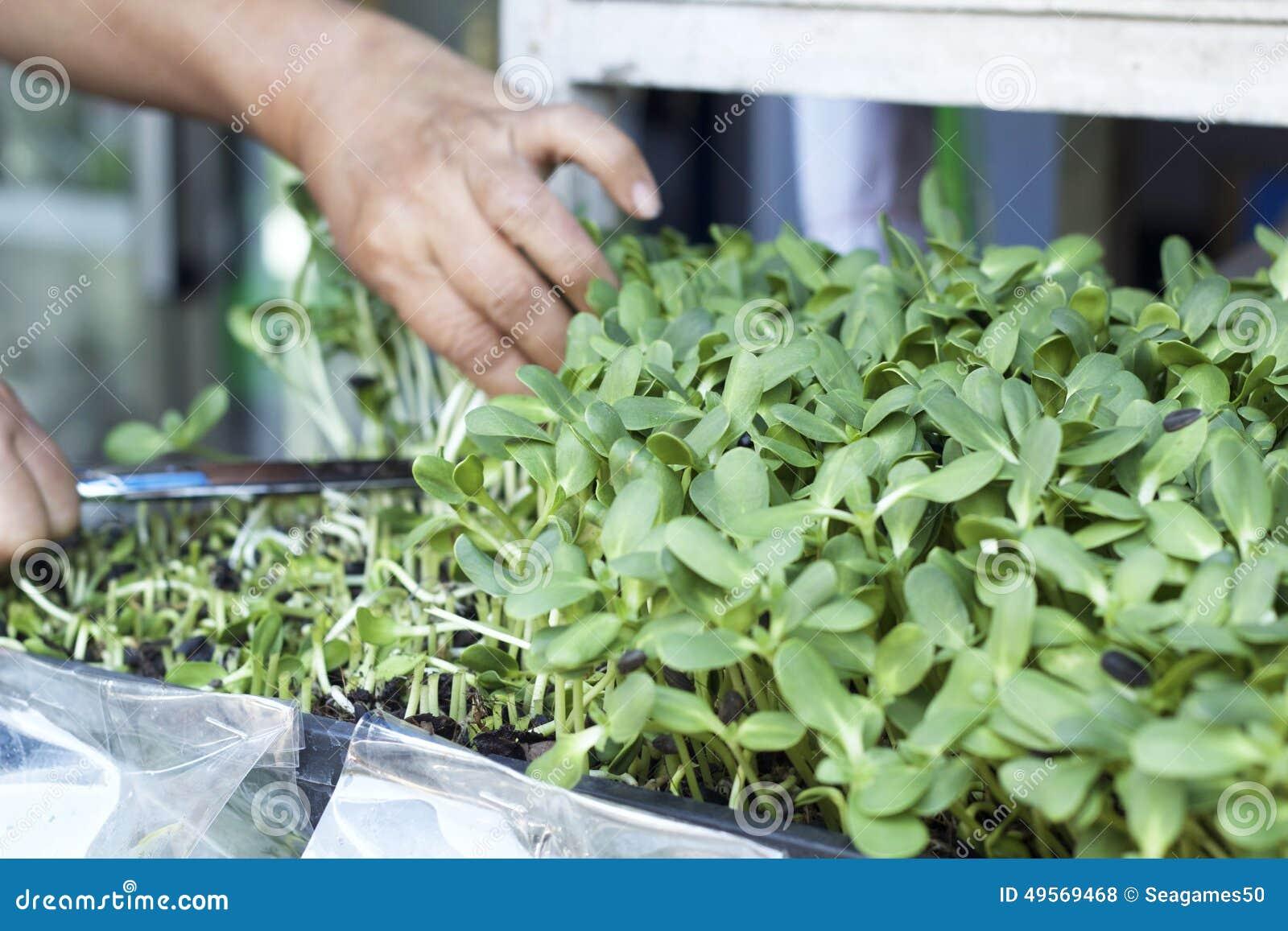 Planta el girasol débil con la naturaleza