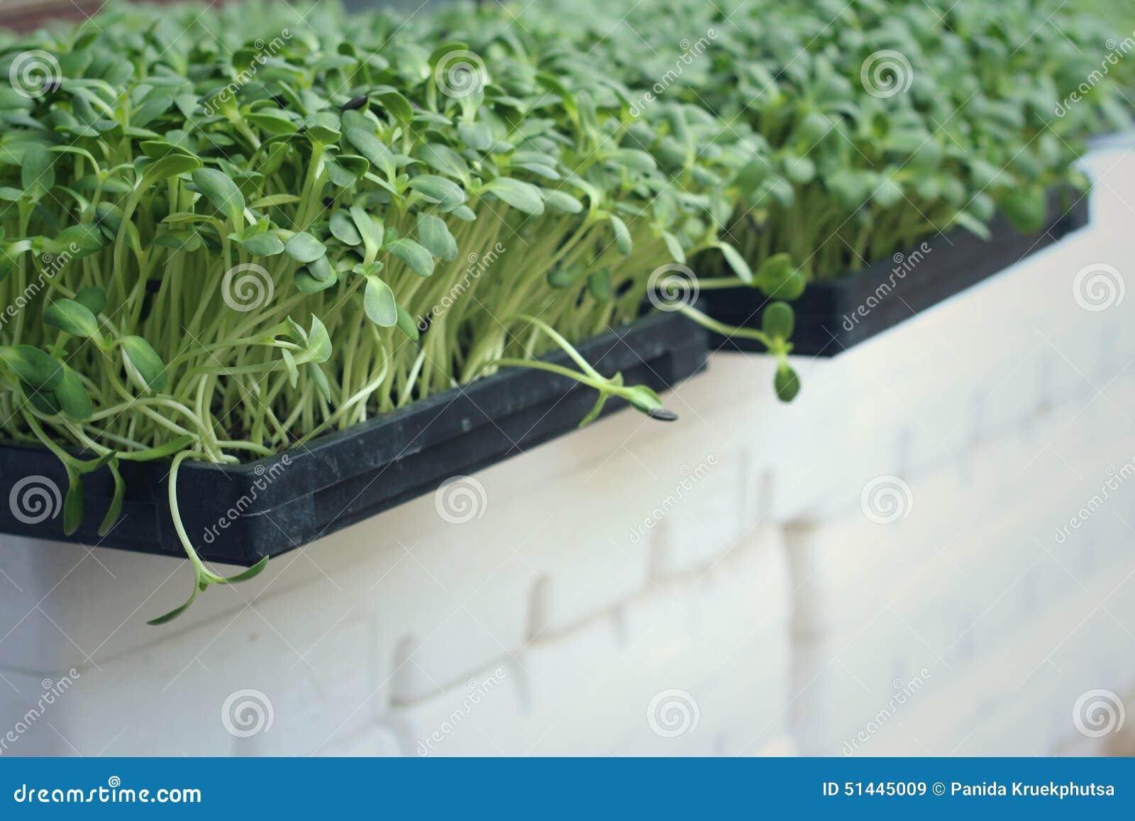 Planta el girasol débil con la naturaleza en un jardín